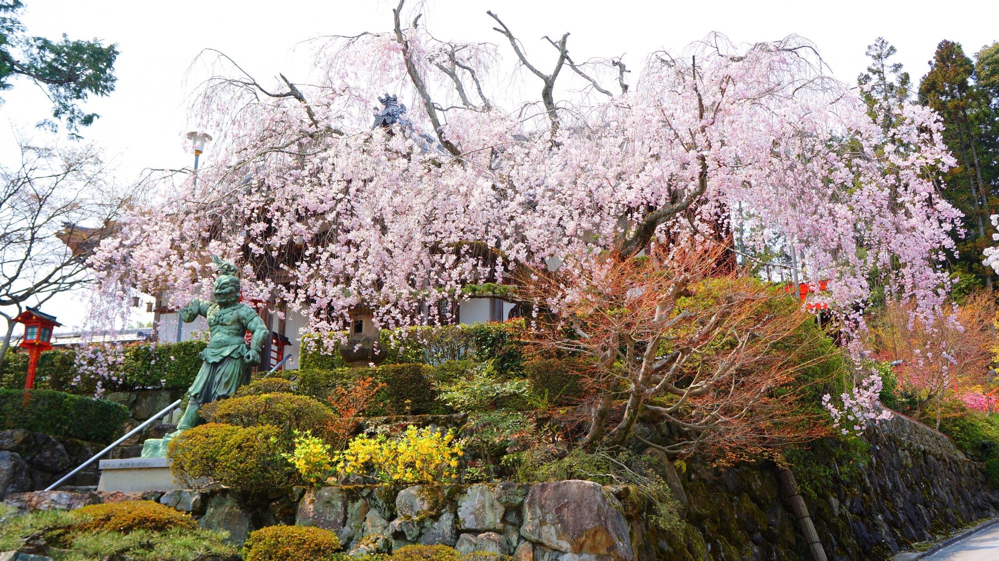 正法寺の春日不動尊堂を春色につつむ見事なしだれ桜