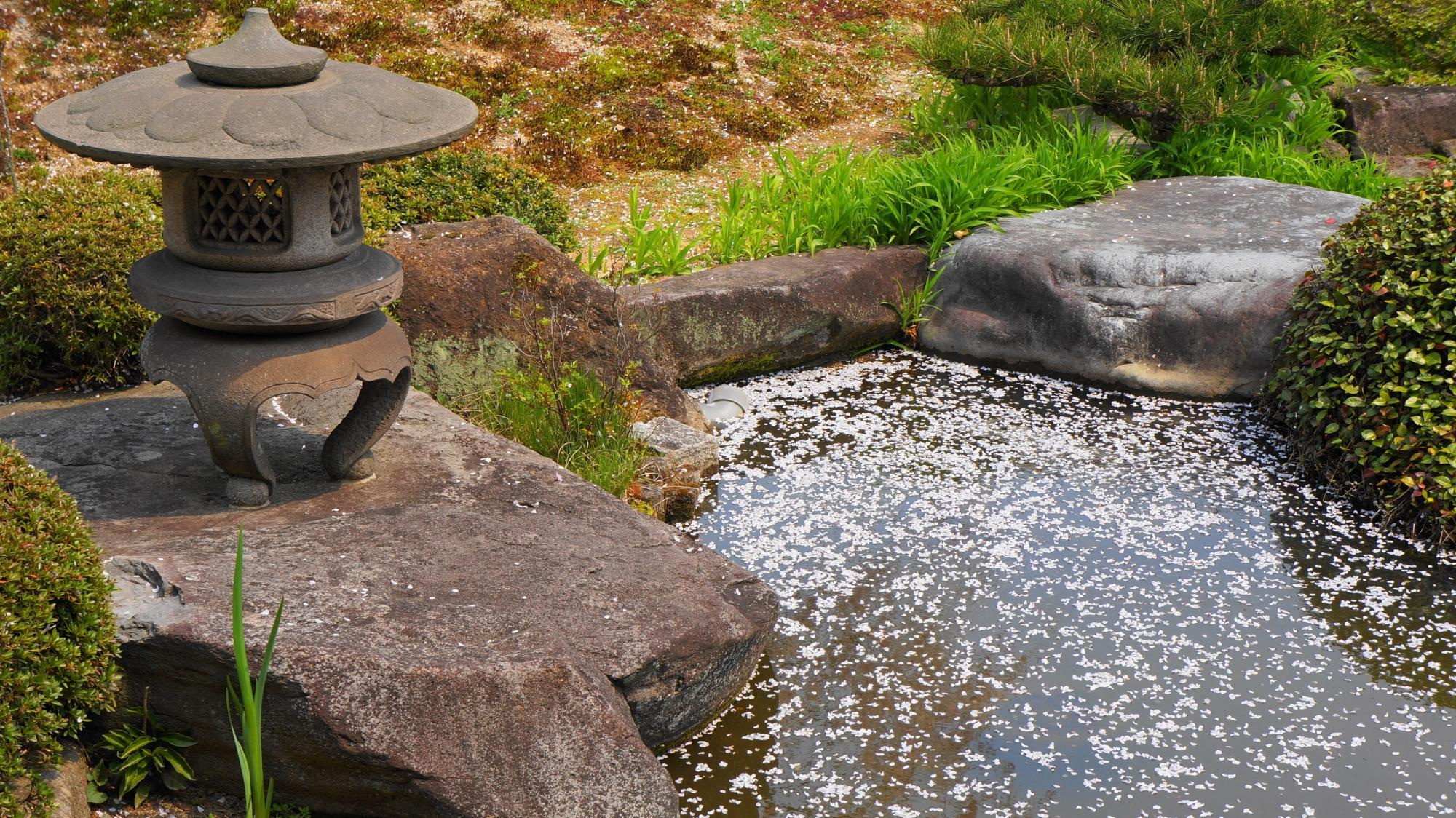 見事な散り桜が漂う手前の池