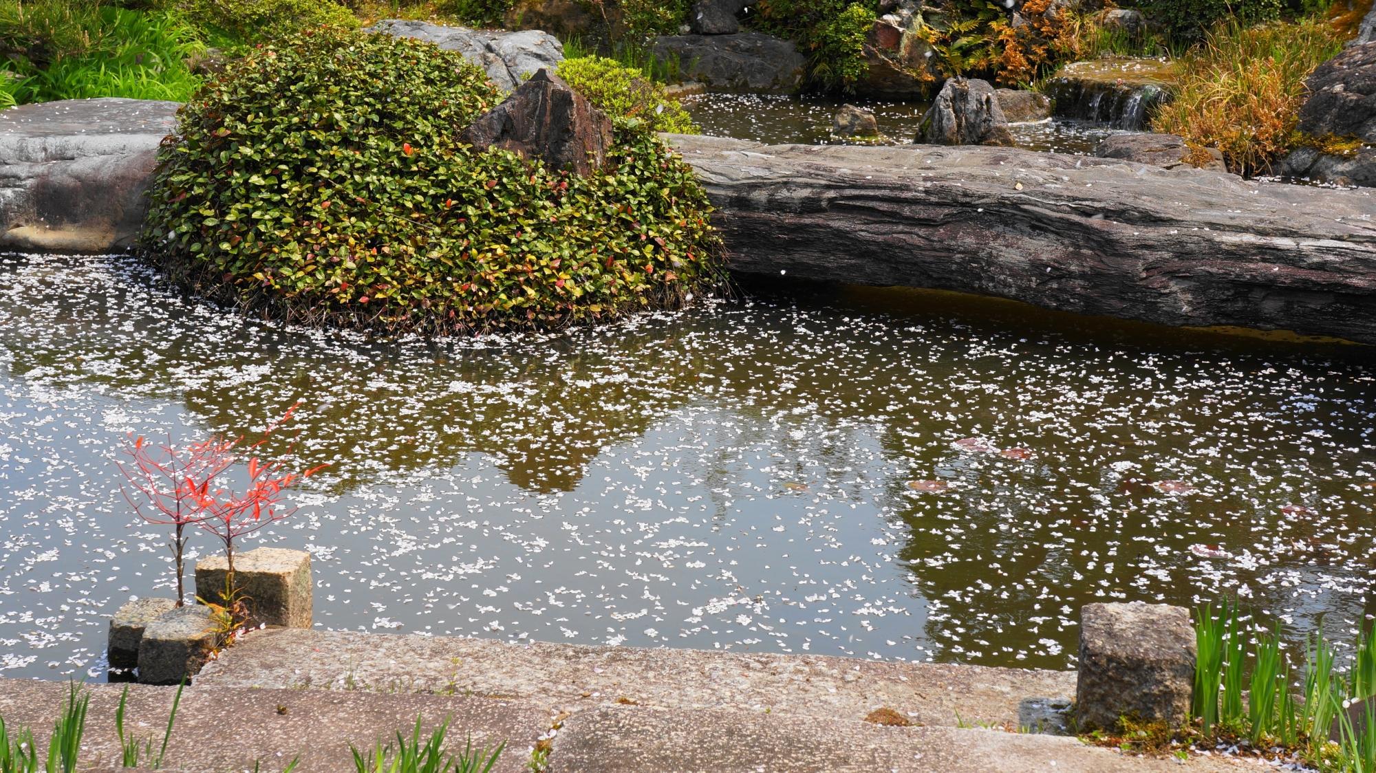 池を彩る華やかな散り桜