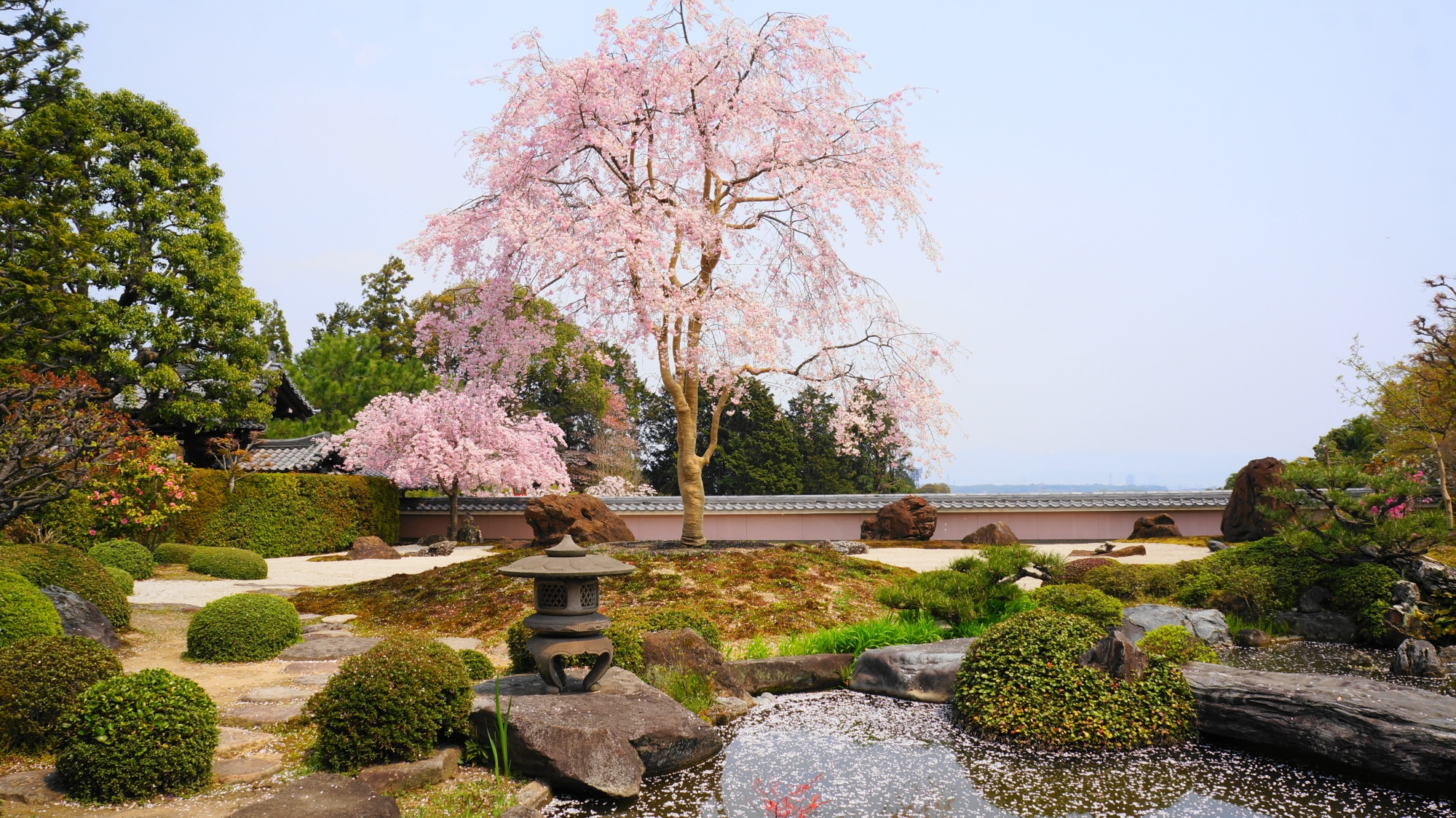 宝生苑に降り注ぐ満開のしだれ桜