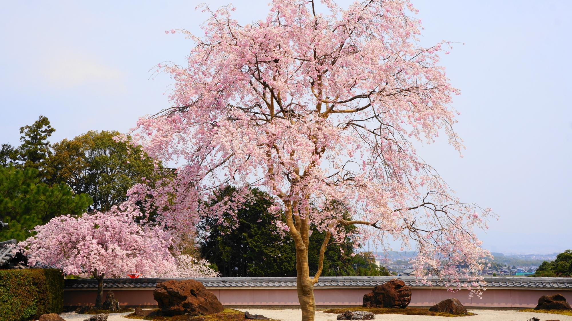 爽快で華やかなしだれ桜の春の風景