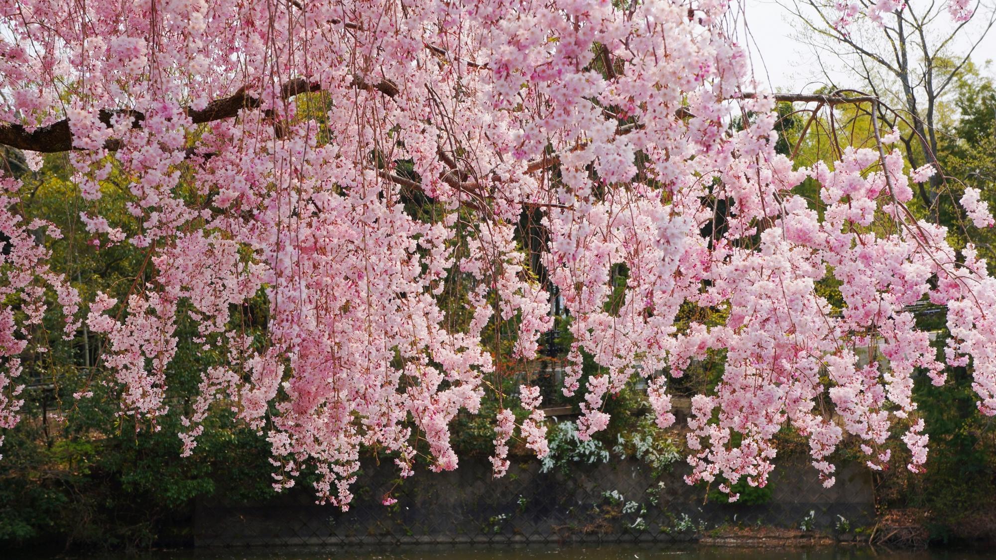 豪華に降り注ぐ華やかなピンクの花