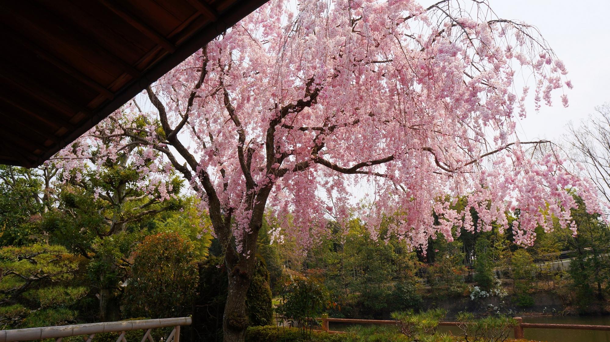 宝生苑横の見事なしだれ桜