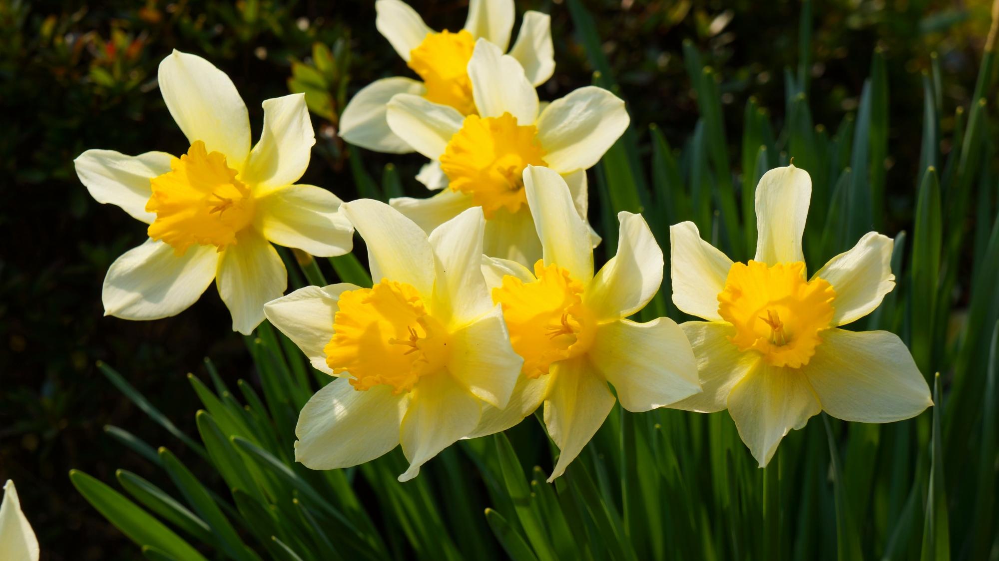 花の寺の善峯寺に咲くラッパスイセン