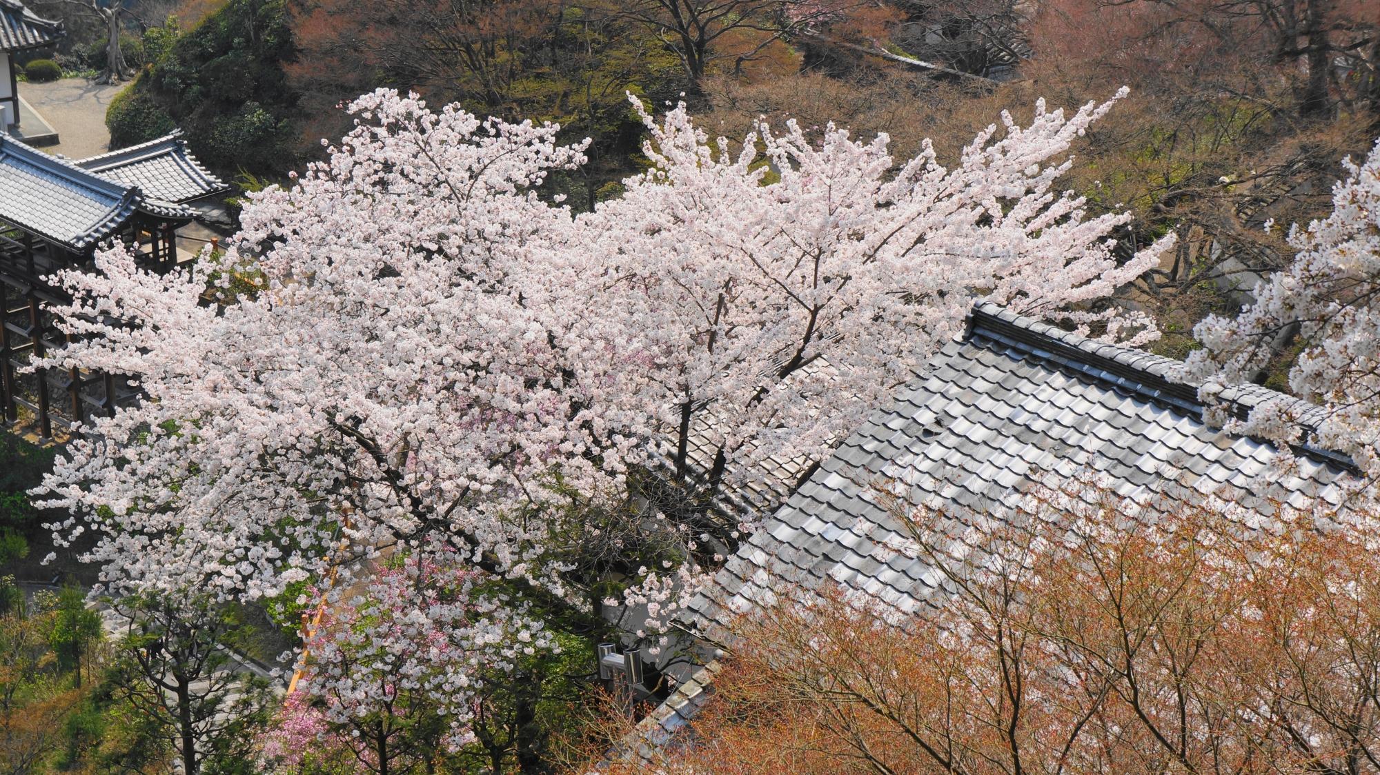 上から見下ろす山寺ならではの美しい桜