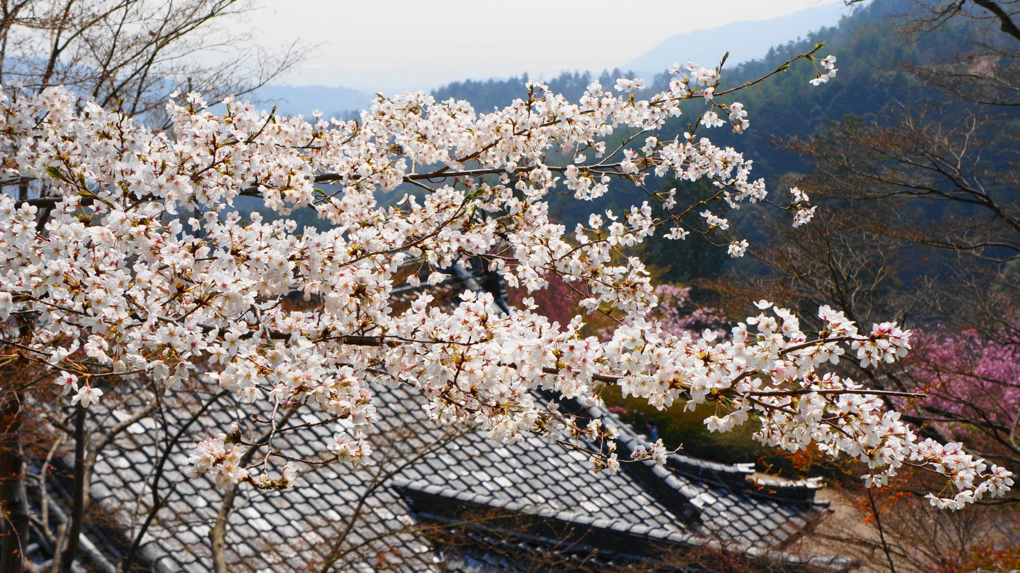 西山と伽藍を彩る桜
