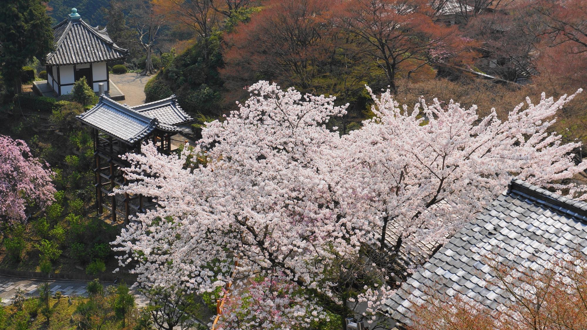善峯寺の釈迦堂付近の桜