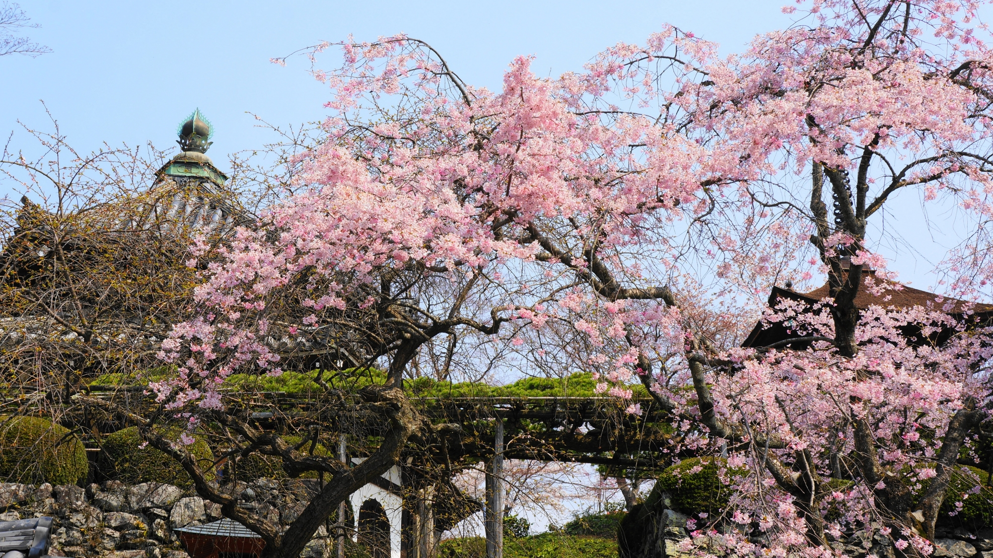 遊龍の松と華やかなしだれ桜