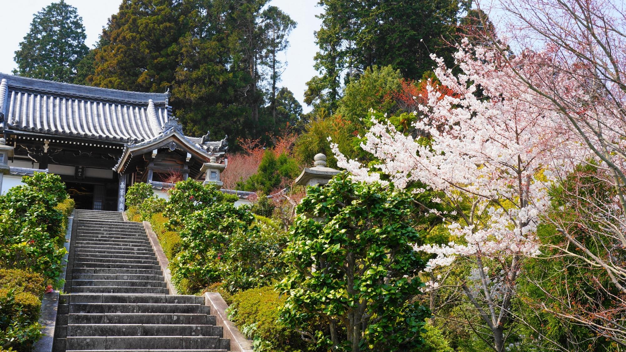 一番上にある薬師堂と桜