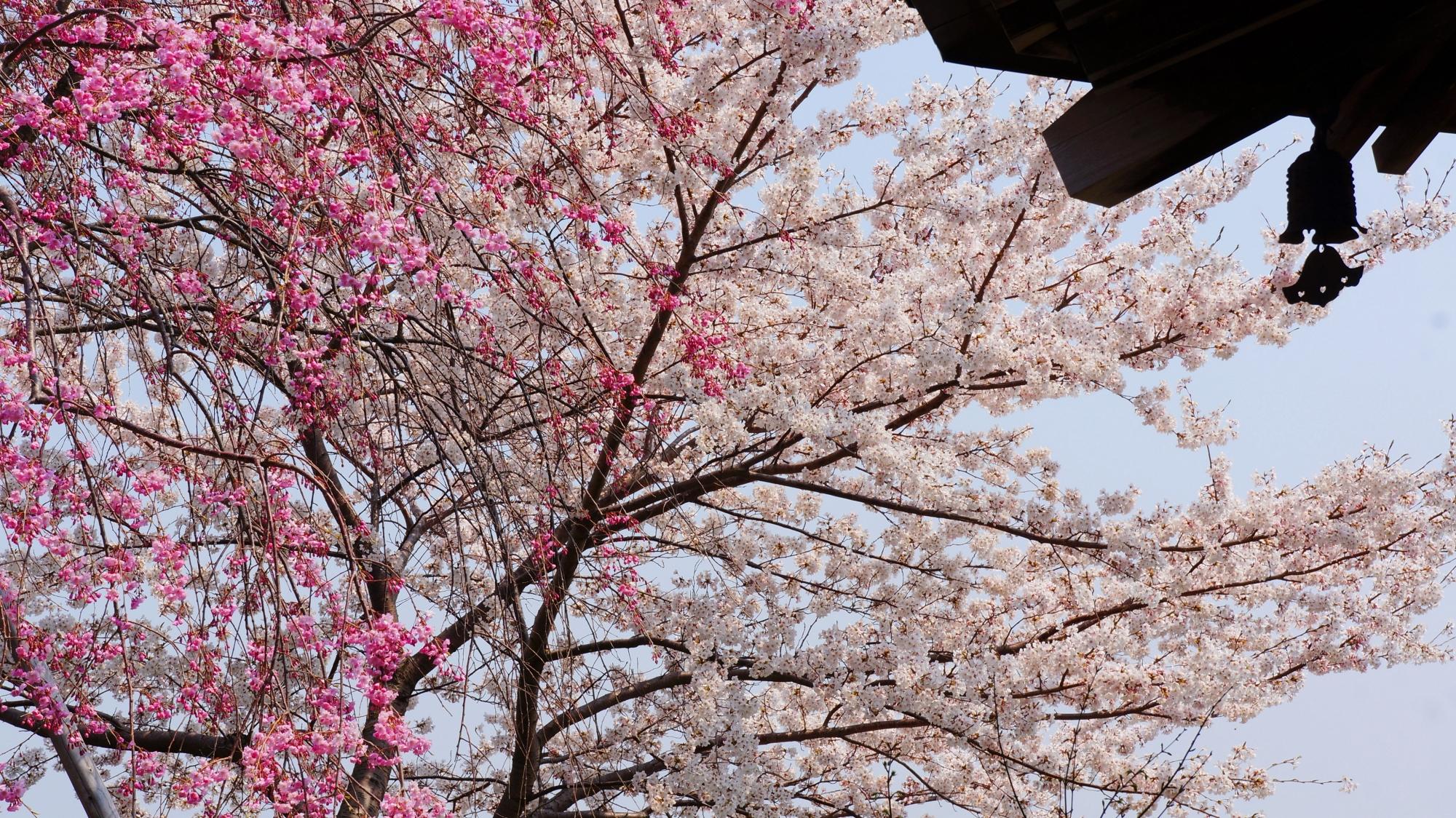 けいしょう殿付近の紅白の桜