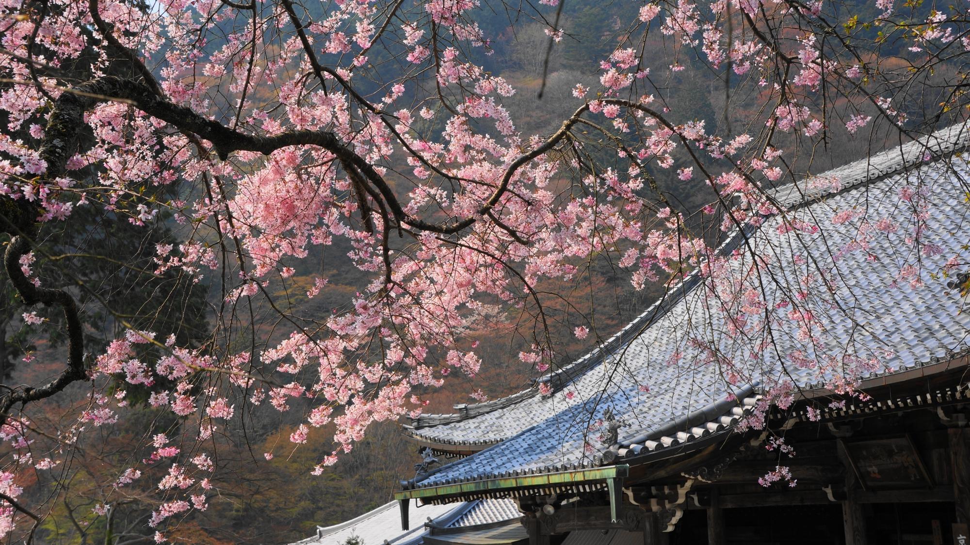 善峯寺の観音堂(本堂)と華やぐ可愛いピンクの桜