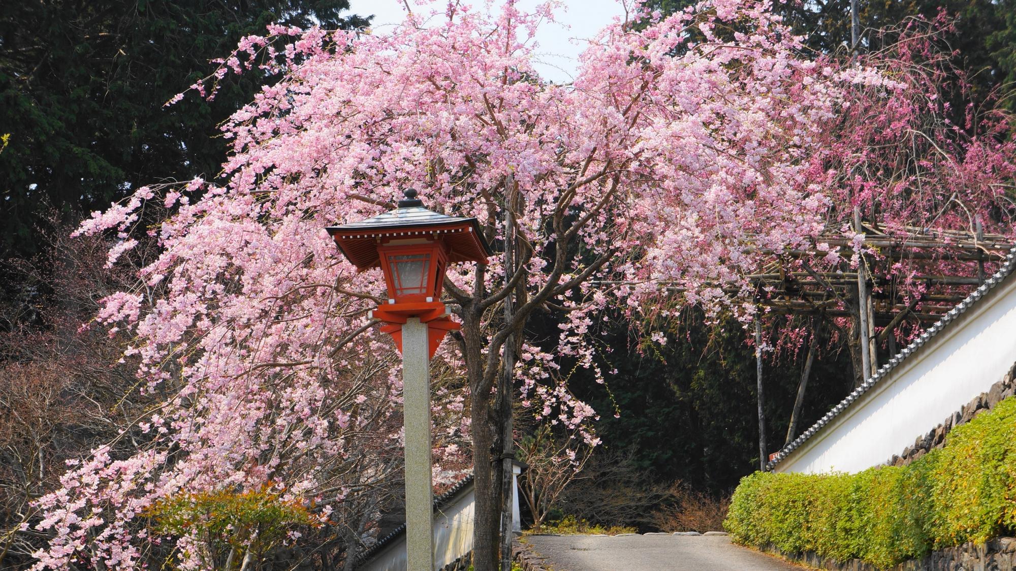 溢れんばかりの満開のピンクのしだれ桜