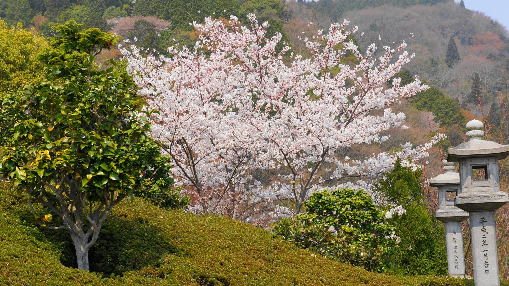 蟷螂が演出する山々を染める華やかな桜