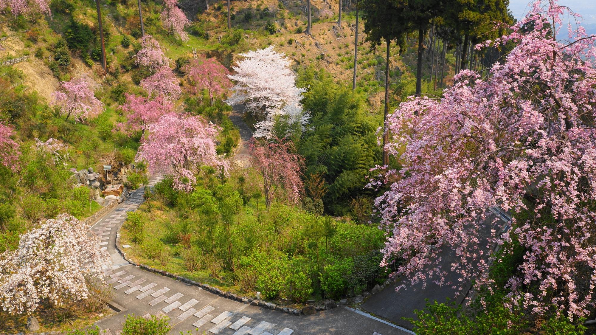白山桜あじさい苑の桜