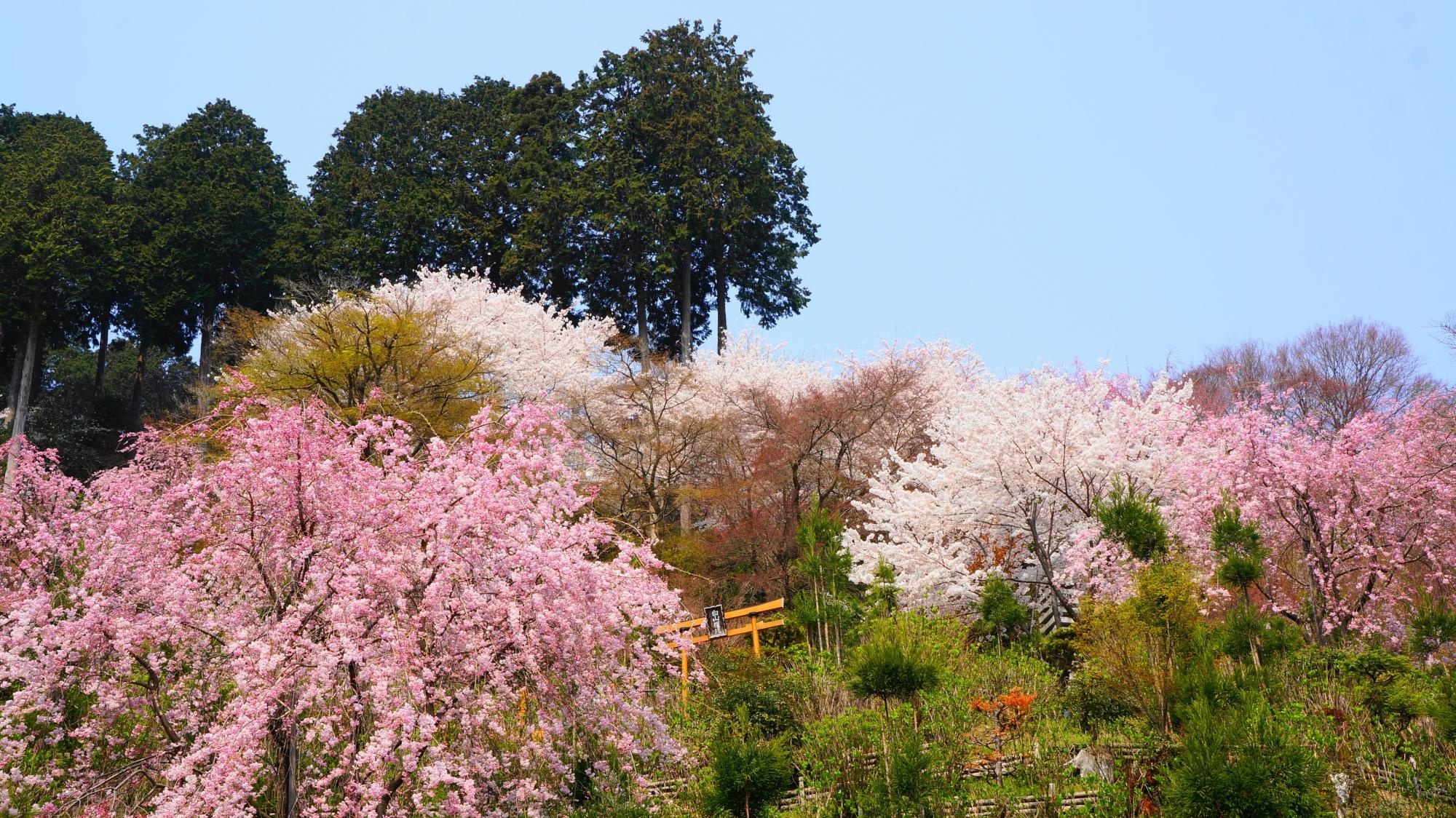 青空に映える華やかな色とりどりの桜