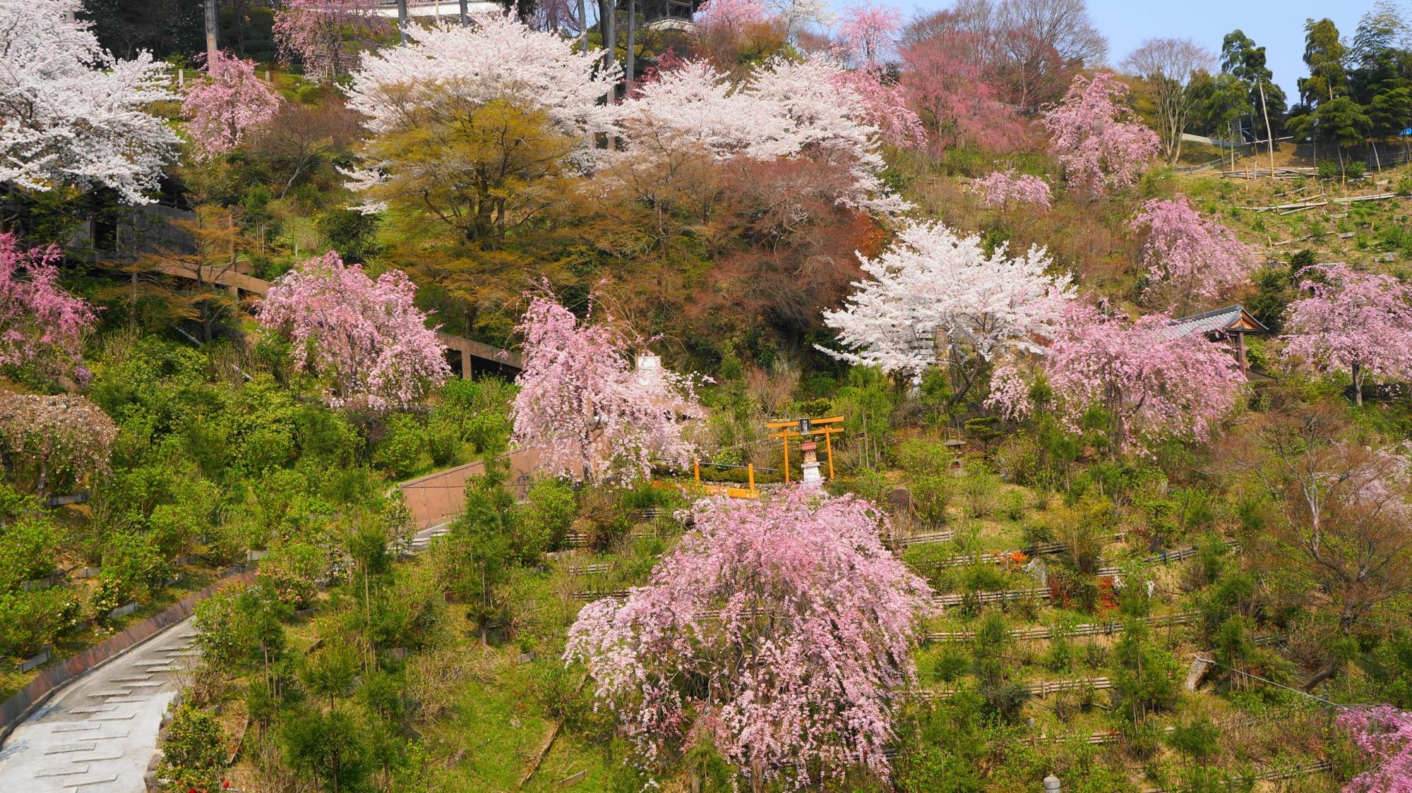 善峯寺で溢れる白やピンクの桜