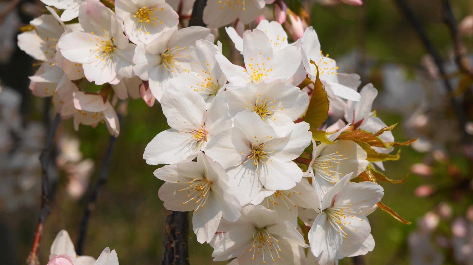 眩しい白い花をいっぱいつける桜