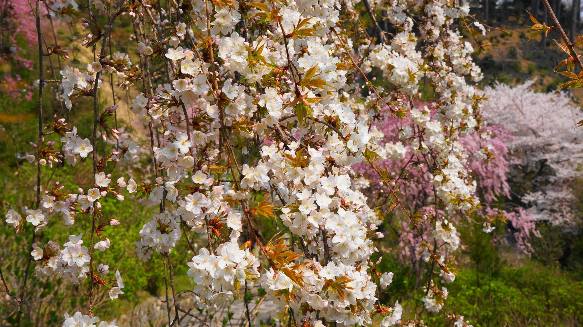 善峯寺の賑やかな白色の桜