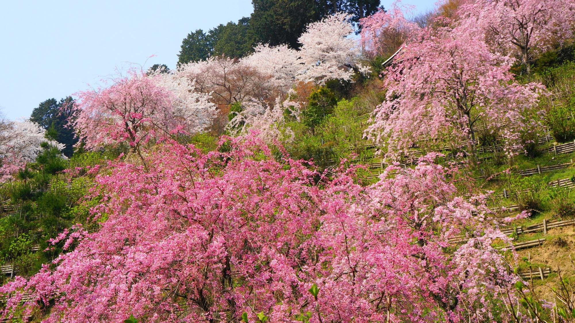 見事な春色につつまれた善峯寺の白山桜あじさい苑