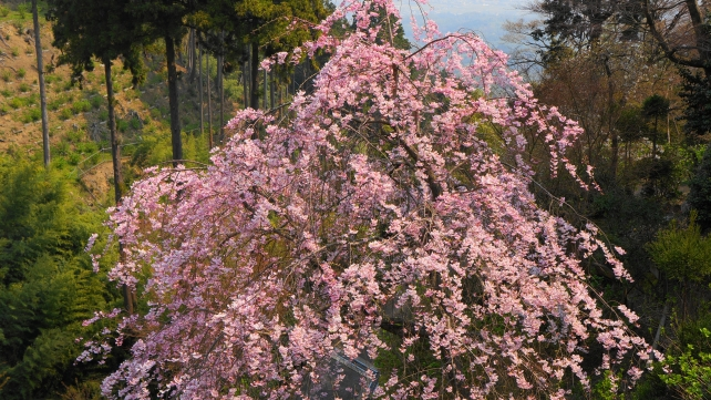Cherry blossoms Kyoto Yoshimine-dera Temple spring 桜苑 よしみねでら 春