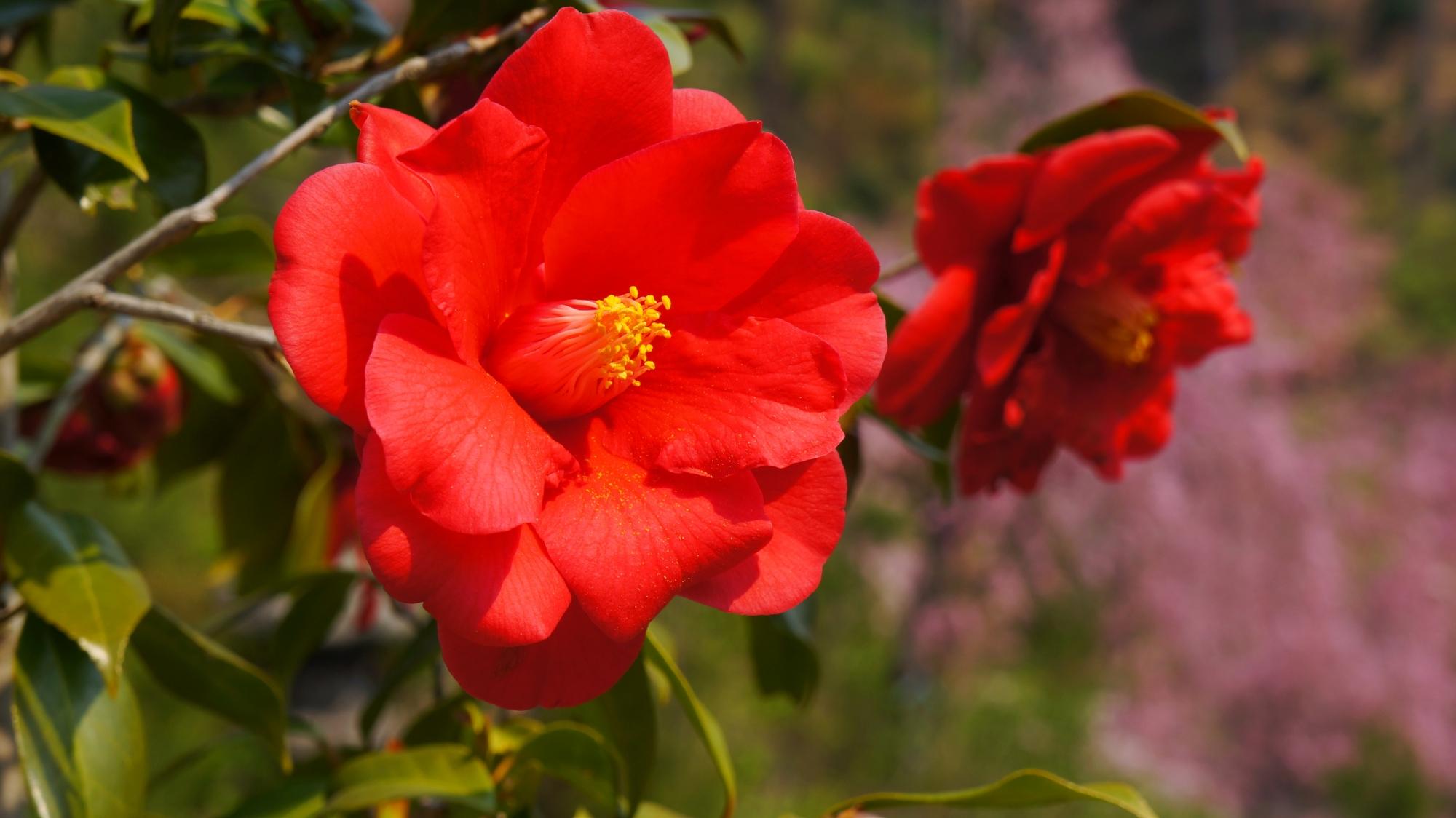 真っ赤な大輪の椿の花