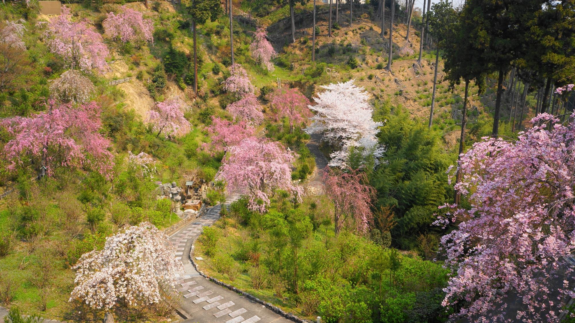 善峯寺の参道をつつむ満開の桜