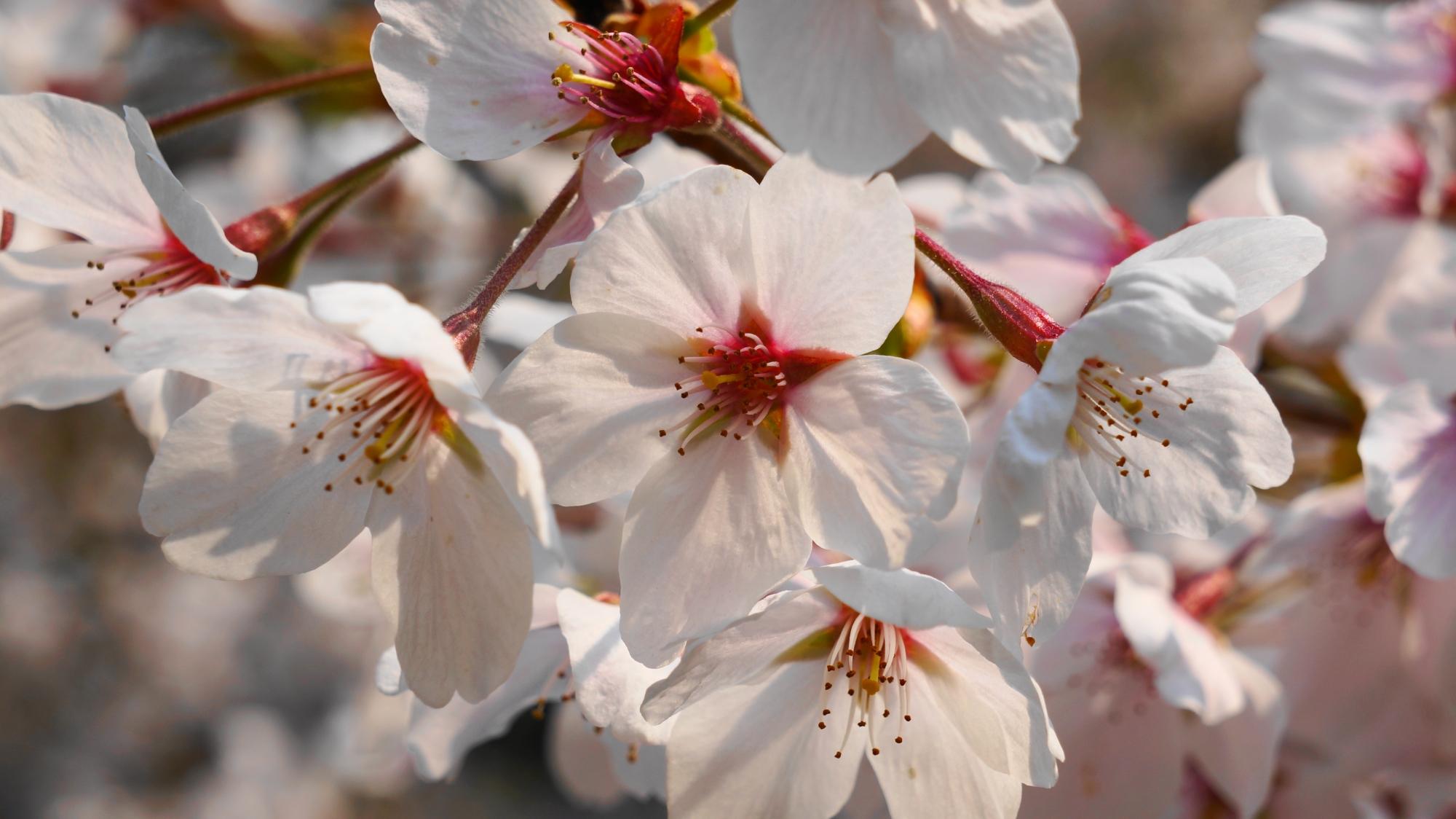 爽やかな春色の満開の染井吉野