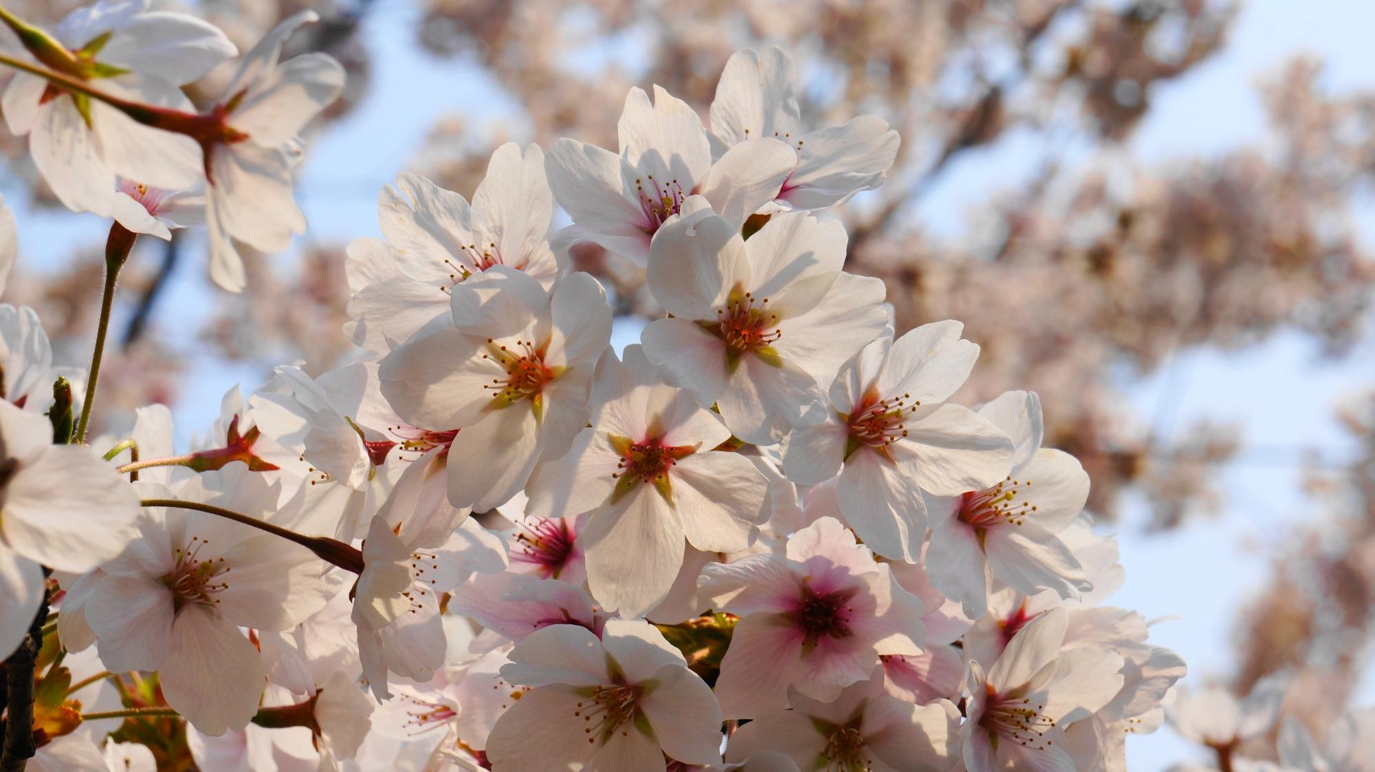 日が当たり透けるような桜の花
