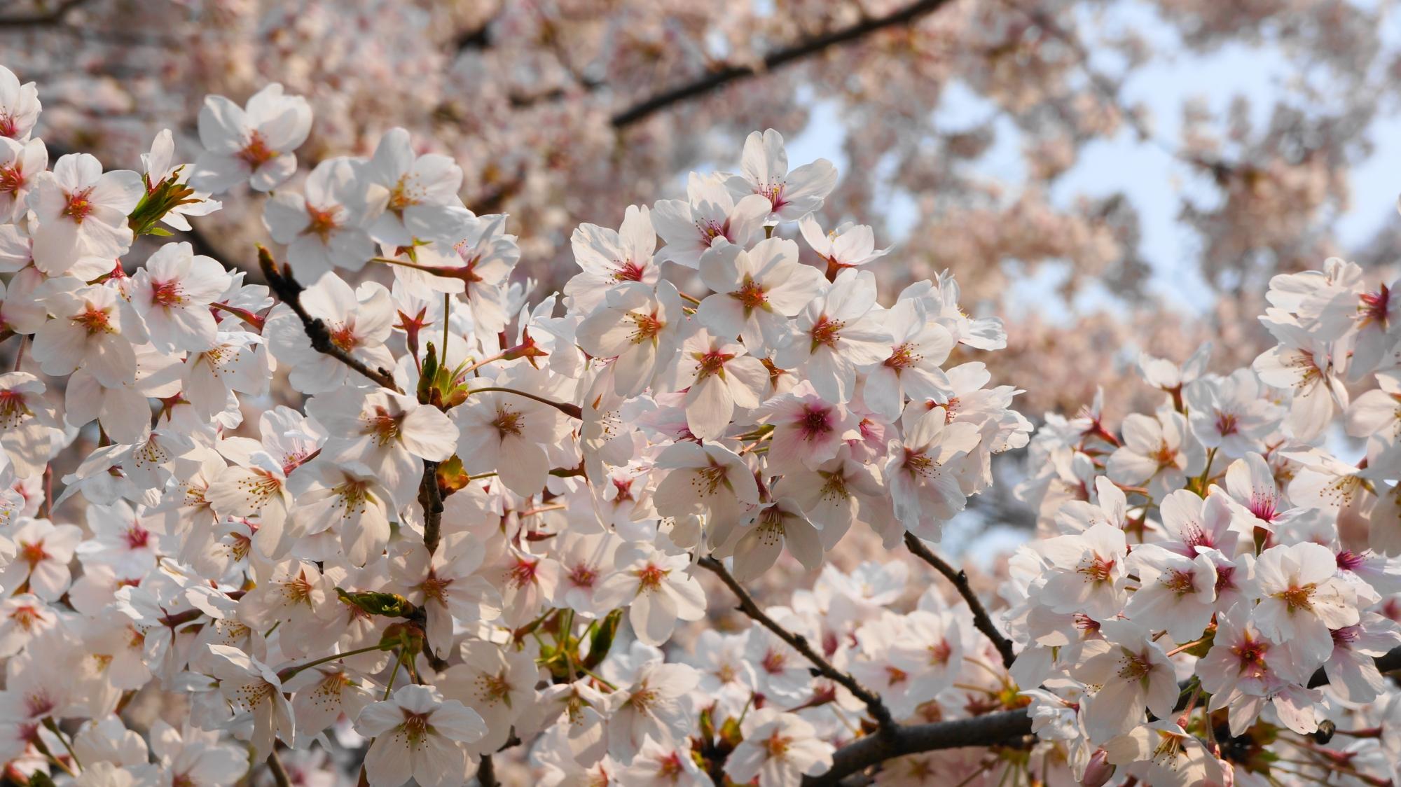 見事な花をいっぱい咲かせるサクラ