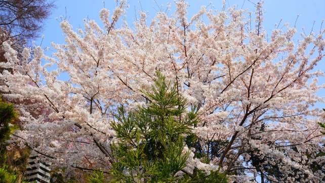 Yoshiminedera-Temple Kyoto cherry blossoms spring
