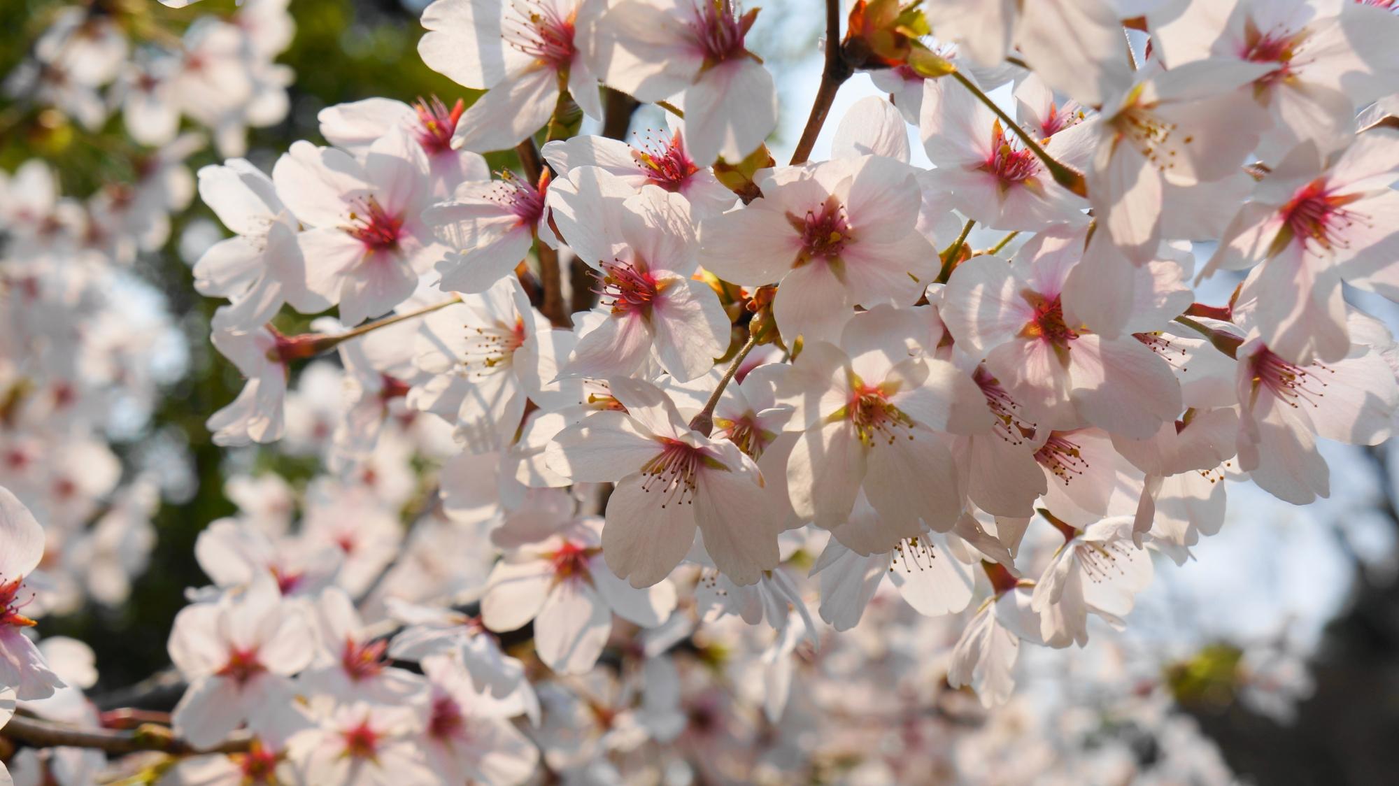 太陽に照らされて輝く桜の花