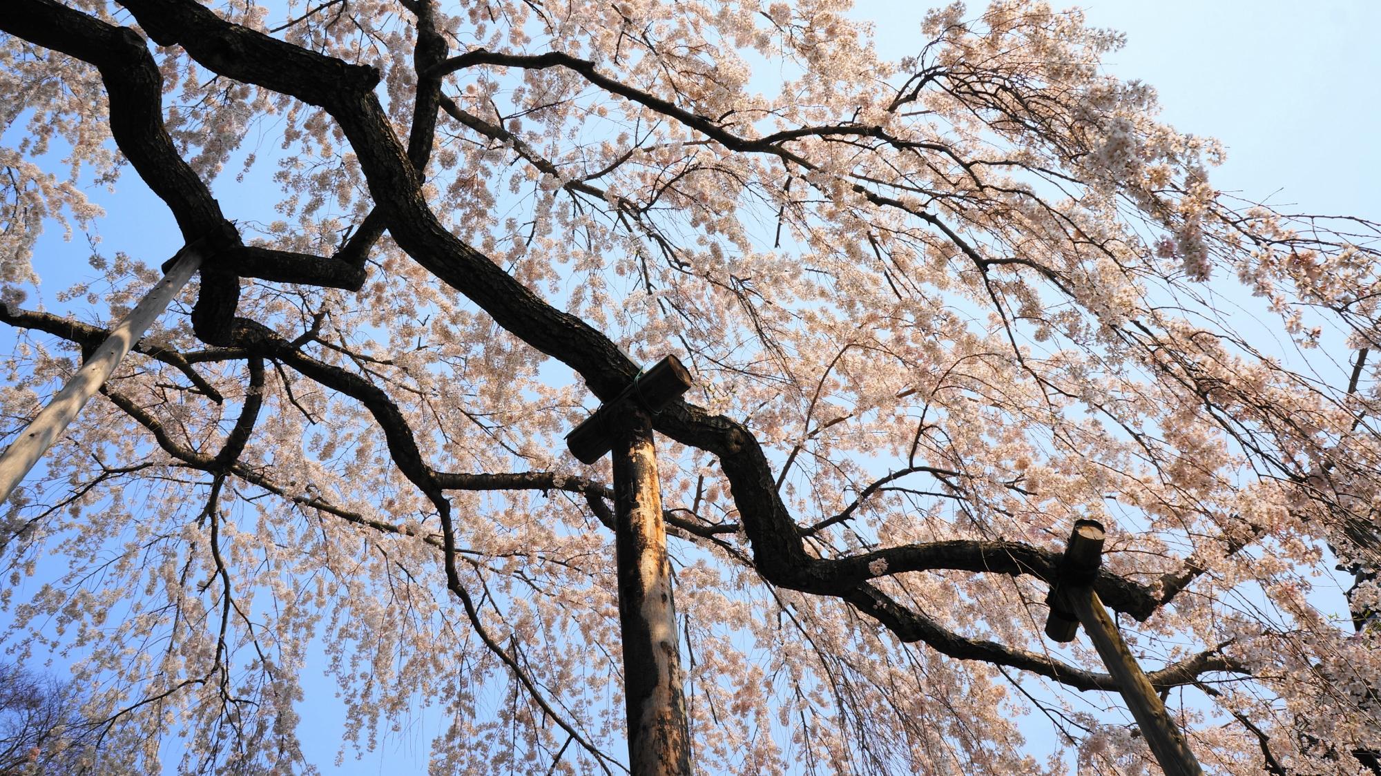 枝を大きく伸ばして咲き誇る桜