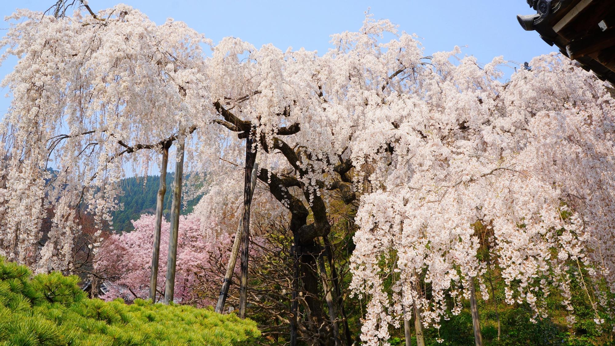 花が溢れそうなくらいに咲く桂昌院のしだれ桜