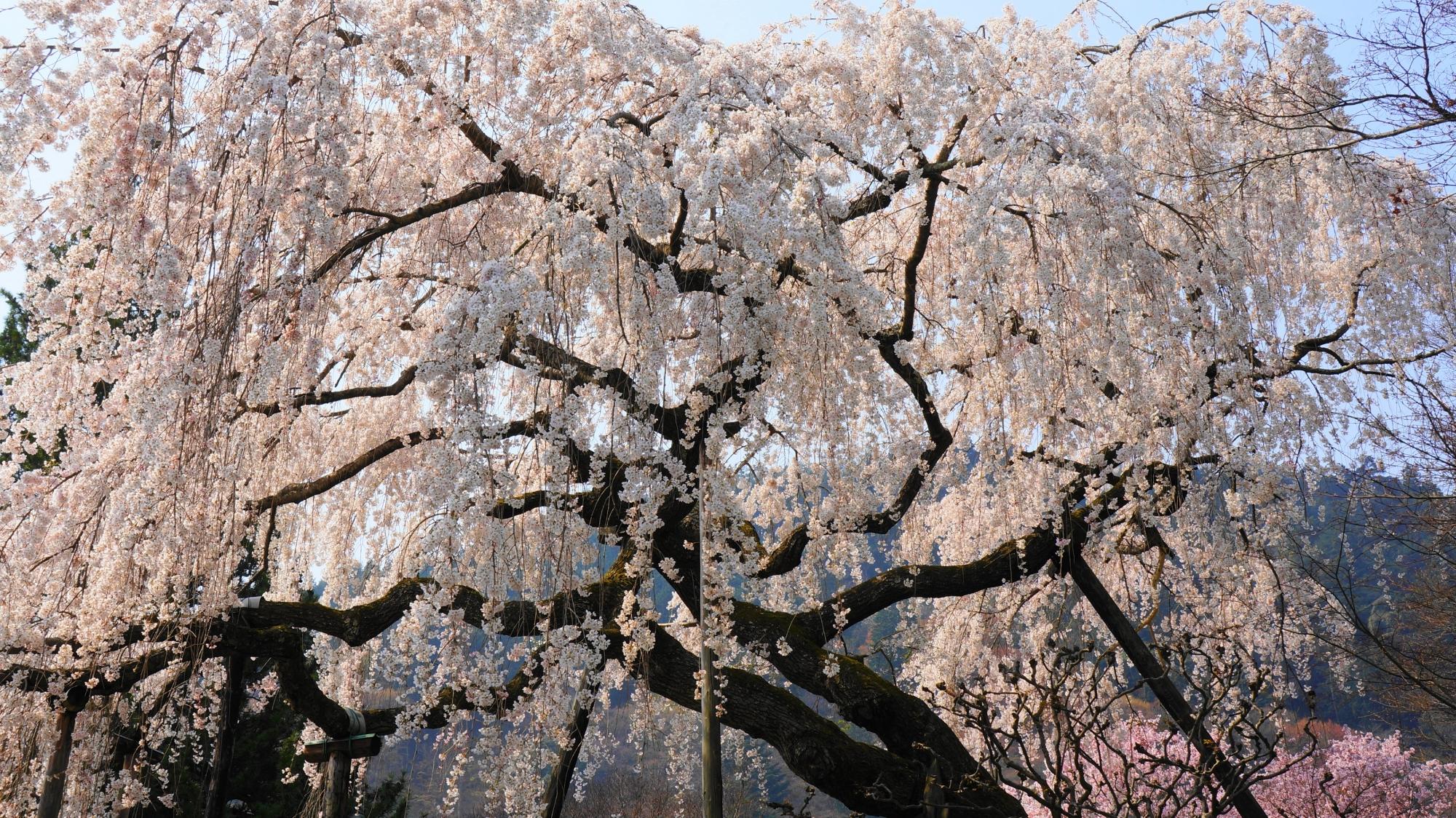 桂昌院お手植えしだれ桜は善峯寺の代表的な桜