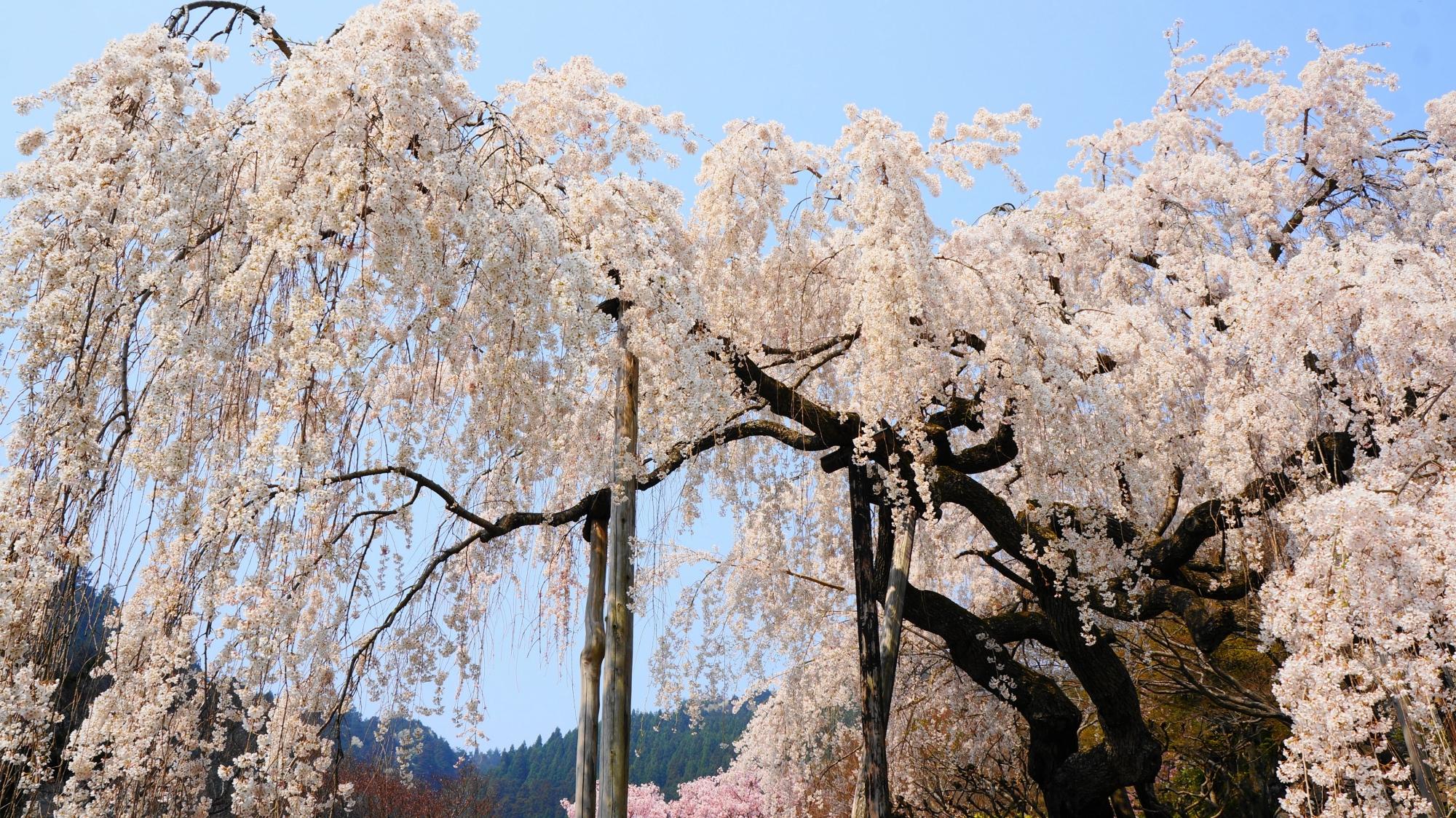桂昌院お手植えしだれ桜