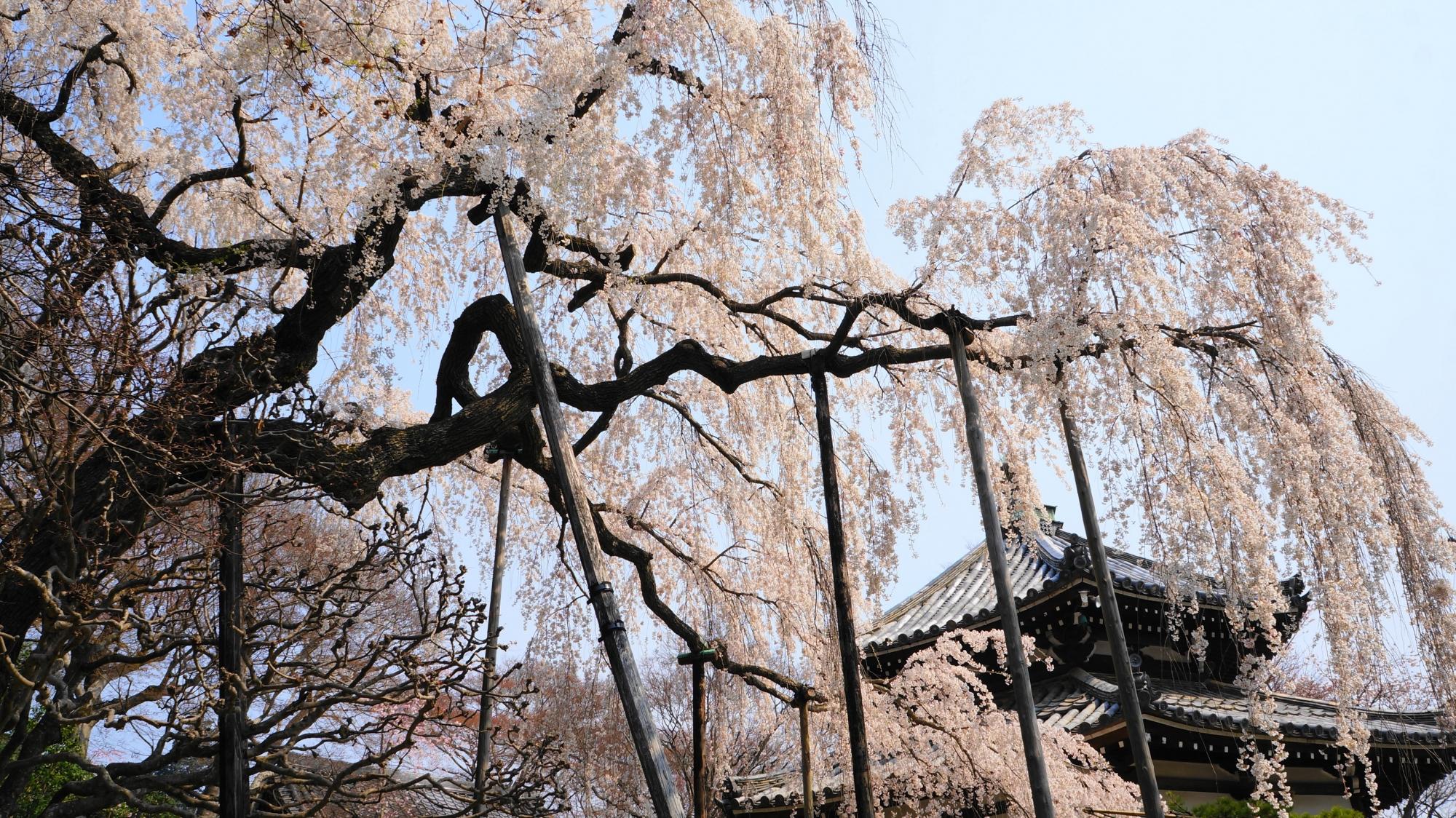 経堂と桂昌院お手植えしだれ桜