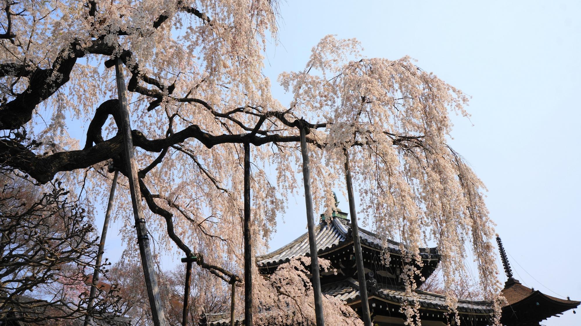善峯寺の素晴らしい桜と春の彩り