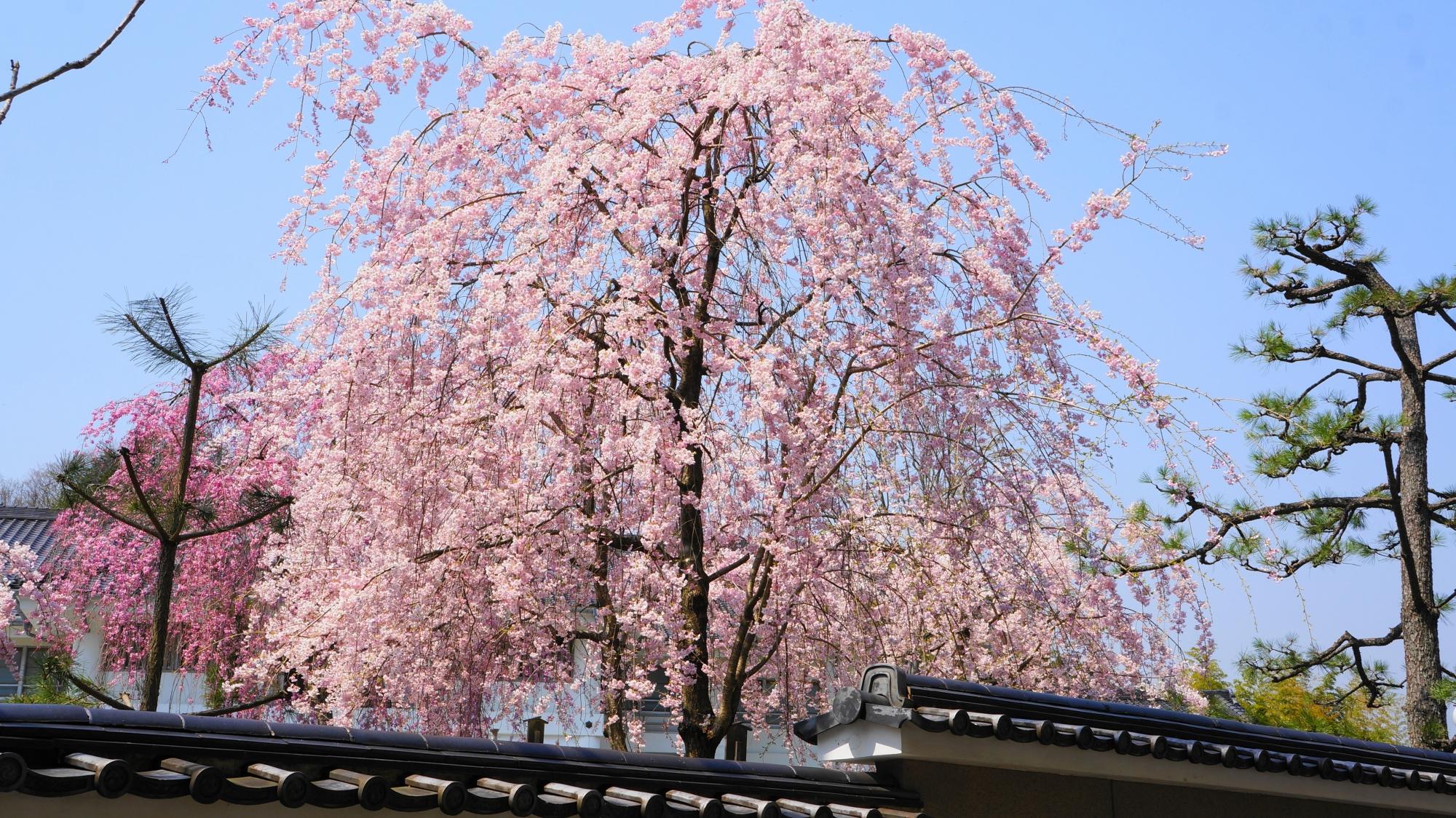 外から見上げた北門付近のしだれ桜
