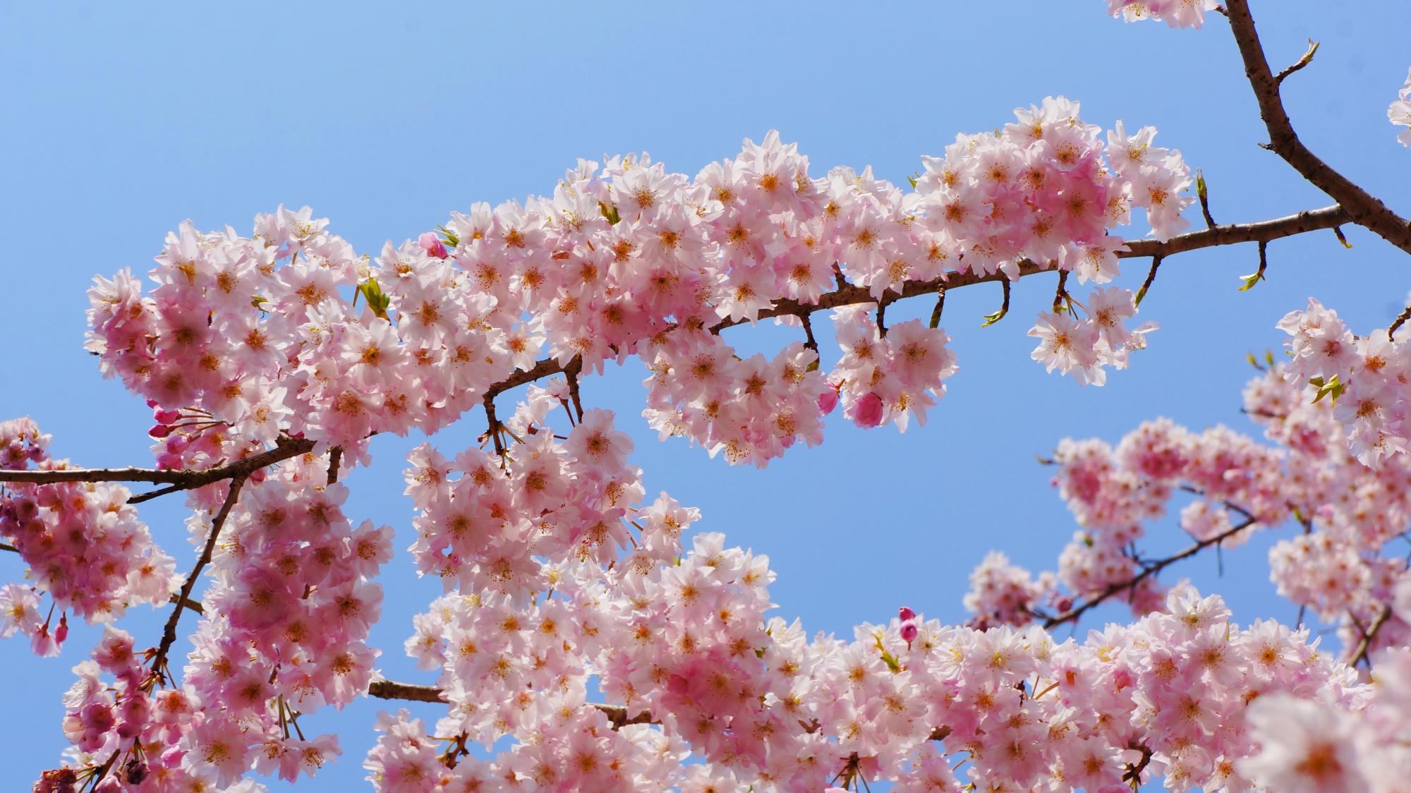 青い空に映える満開の桜