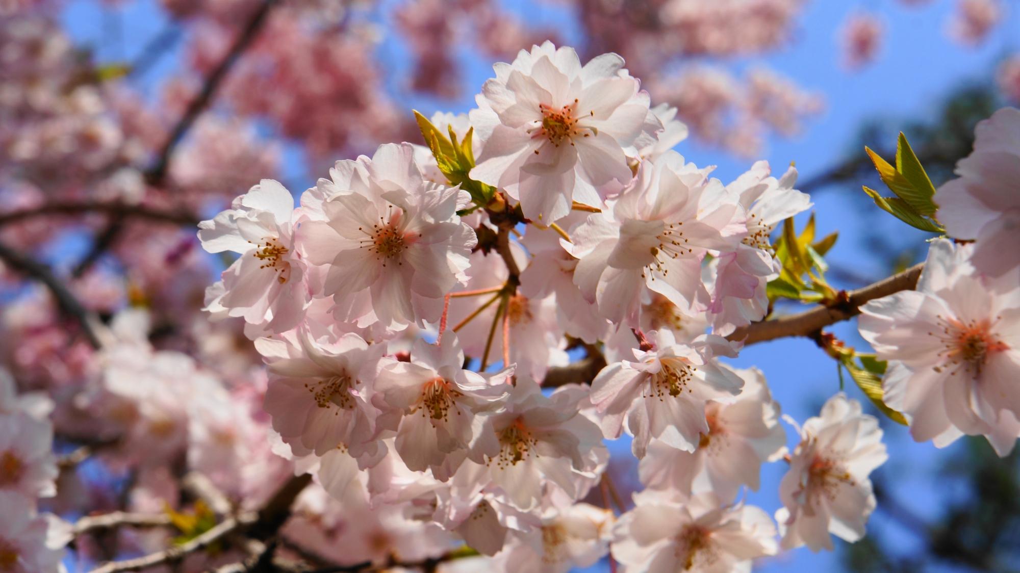 太陽に透けるような綺麗な花びら
