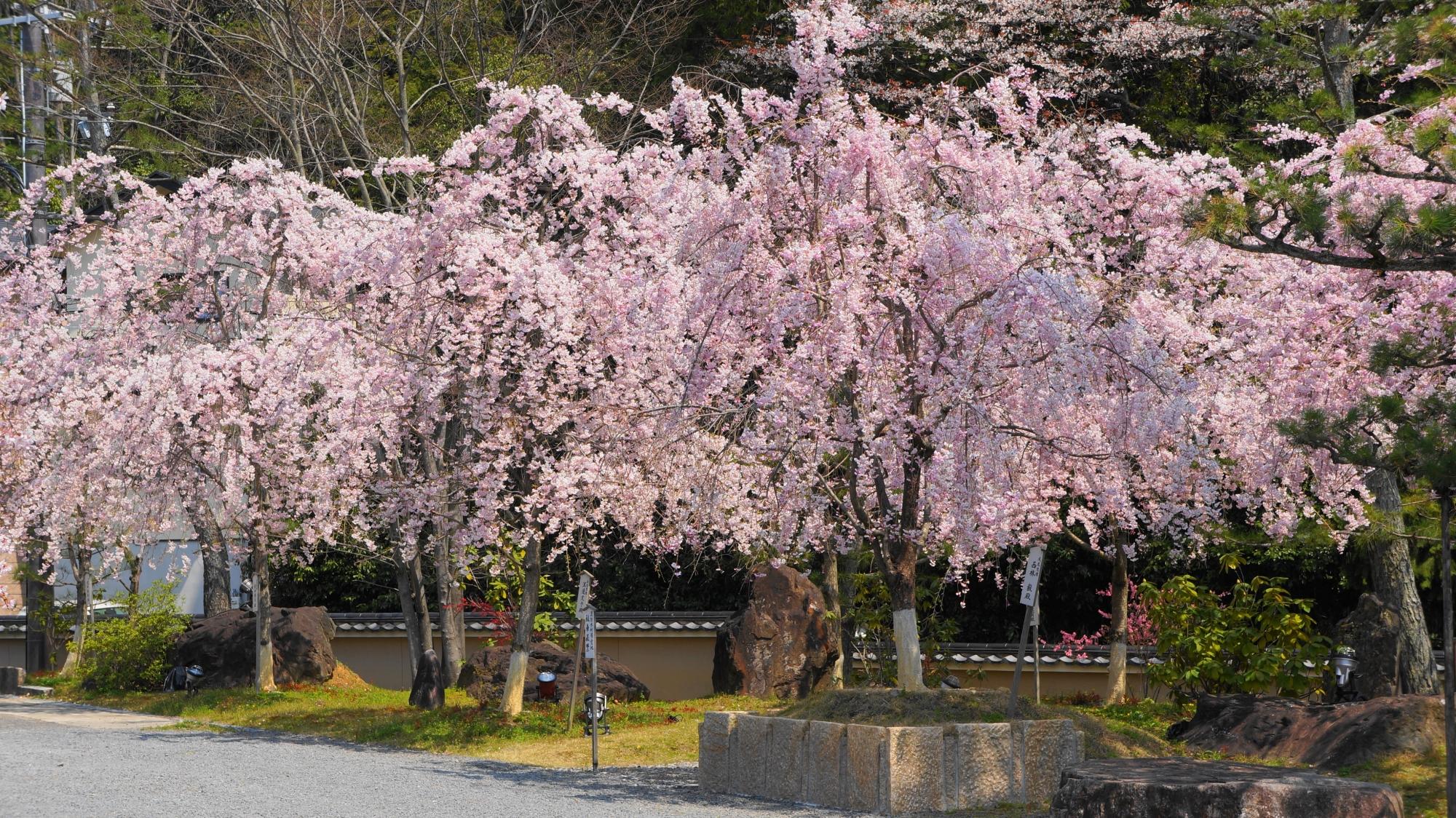 大書院前の桜園のしだれ桜