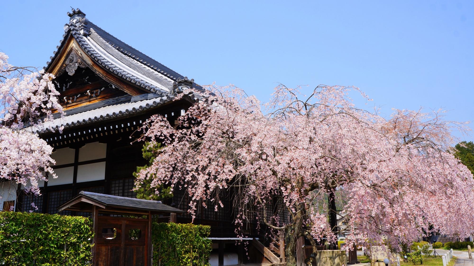 大書院を華やかに彩る桜