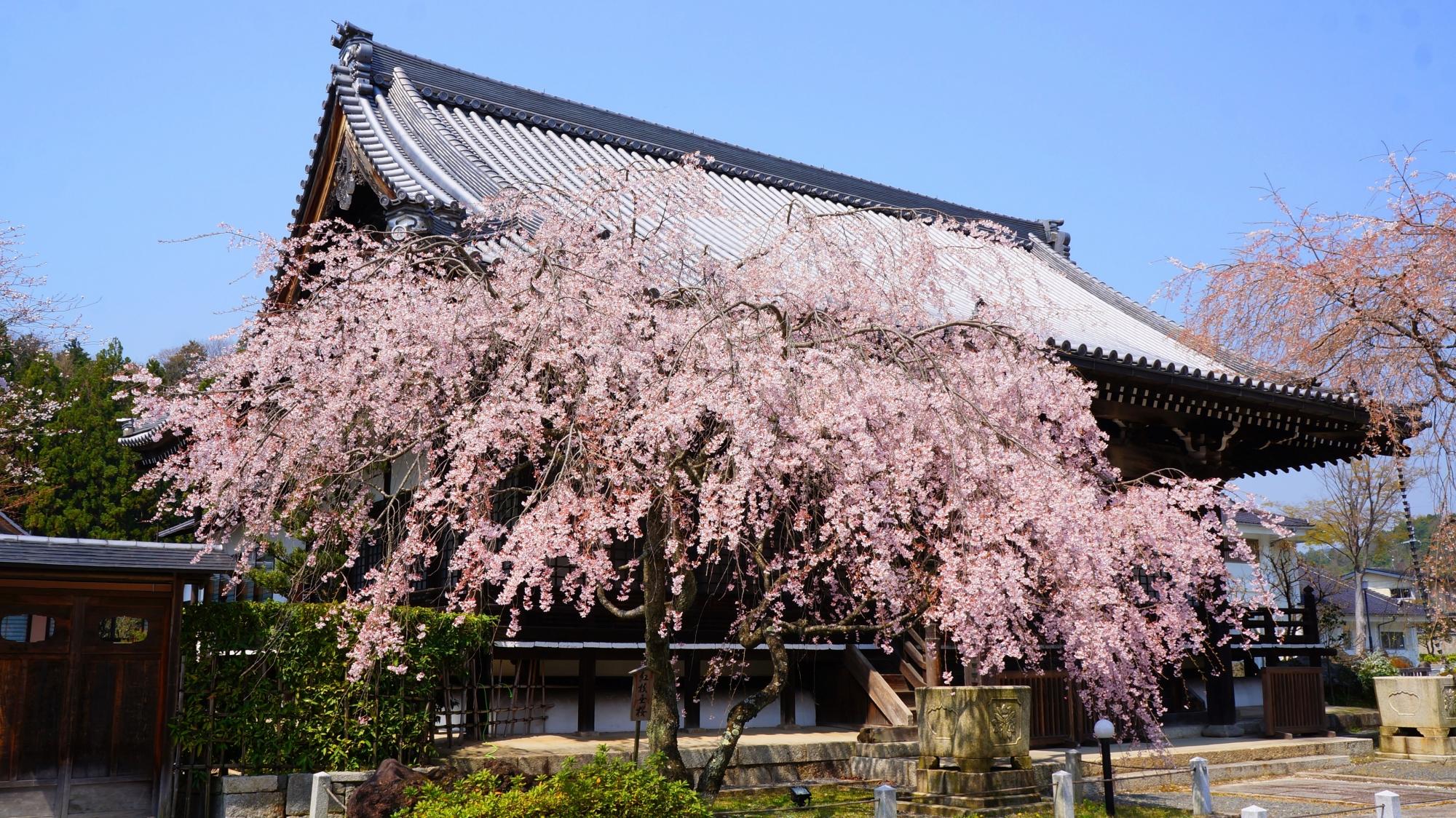 妙満寺の大書院のしだれ桜