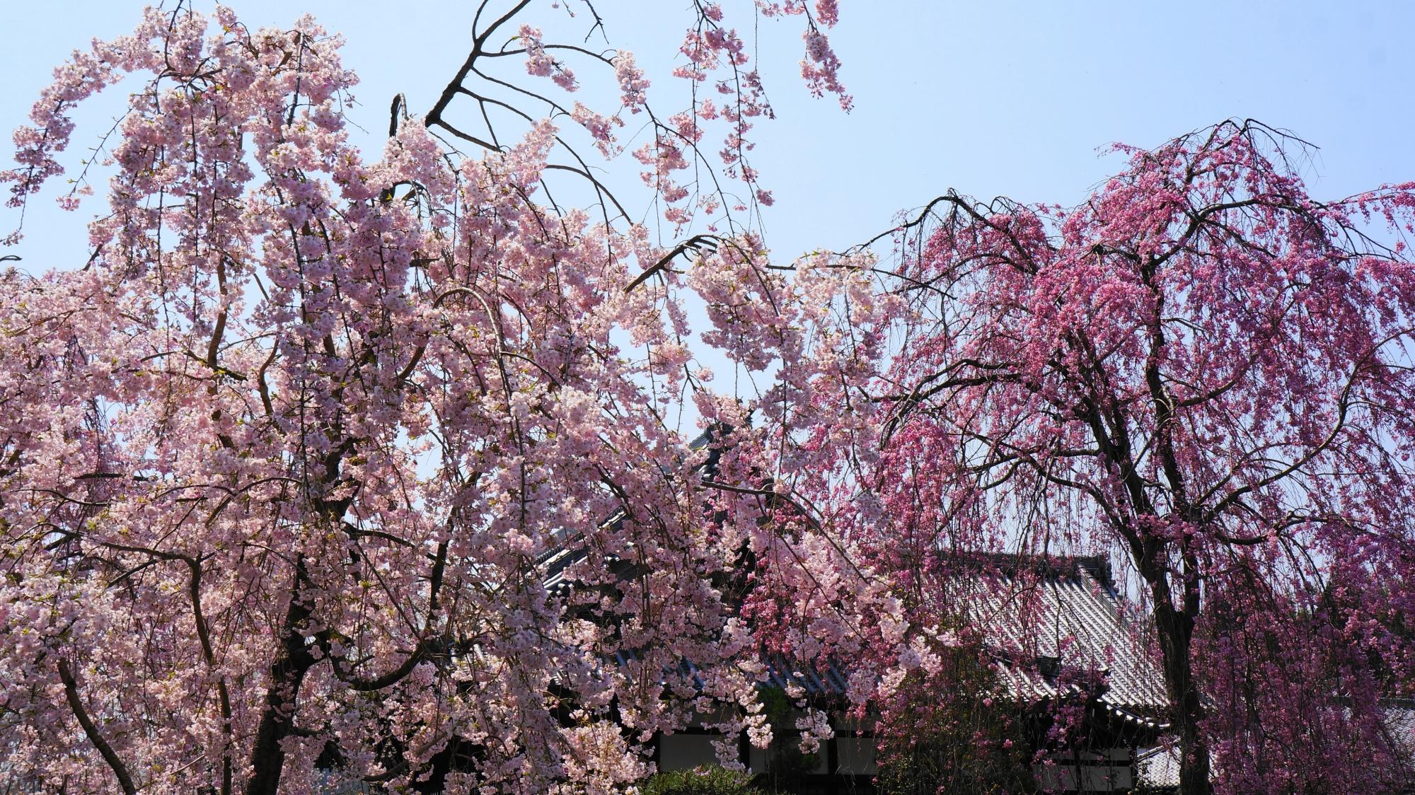 薄いピンクの花や濃いピンクの花など多彩なしだれ桜