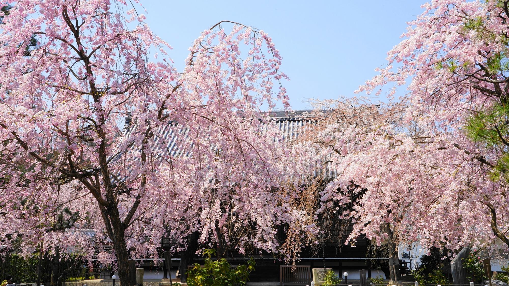 ゆっくり無料で楽しめる妙満寺の桜