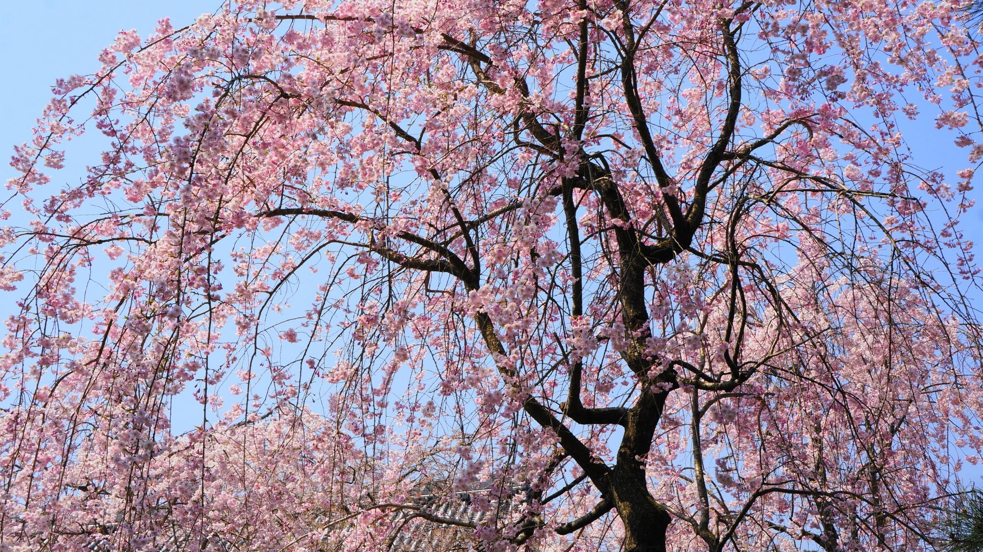 青空を春色に染める見事なしだれ桜