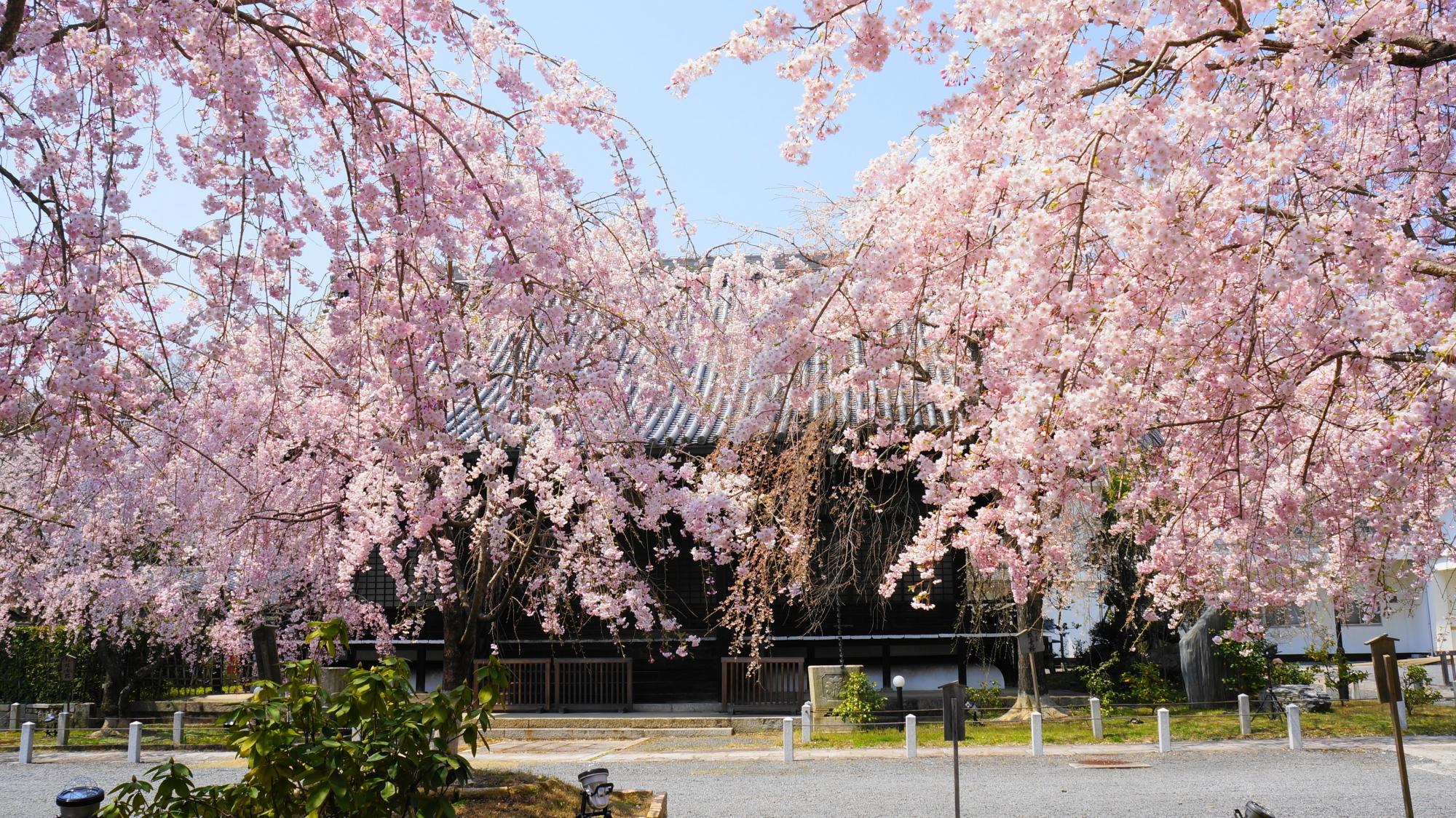 京都洛北の隠れた桜の名所の妙満寺