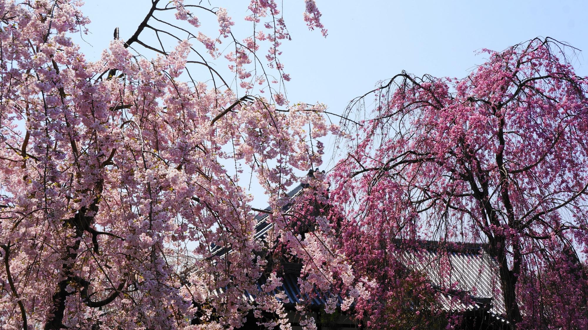 鮮やかな彩りの春の妙満寺