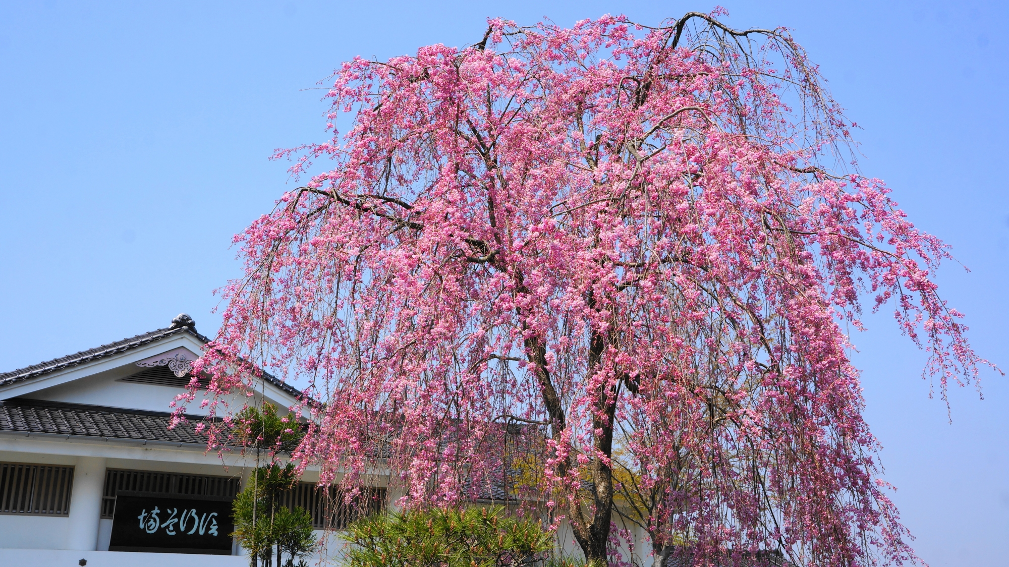 妙満寺の素晴らしい桜と春の情景