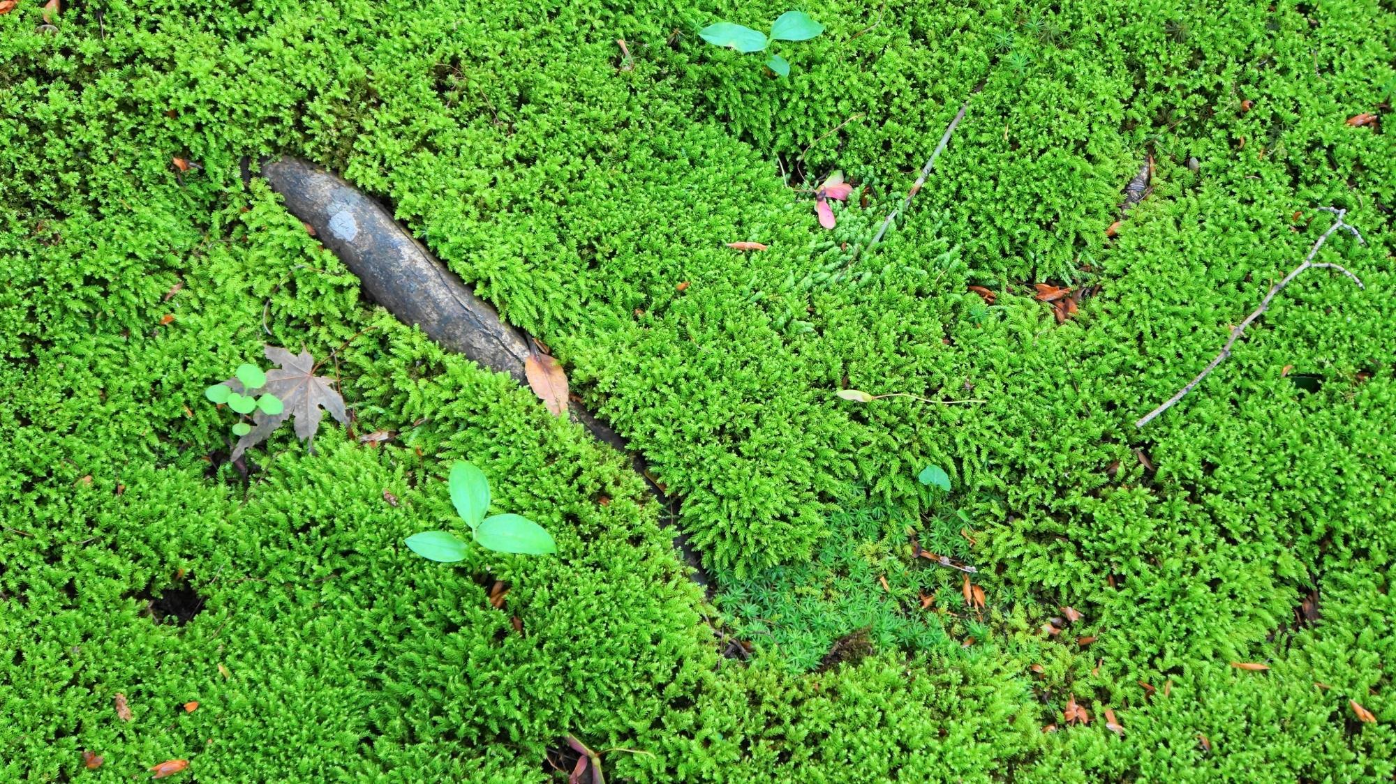 金福寺の鮮やかで美しい緑の苔の絨毯